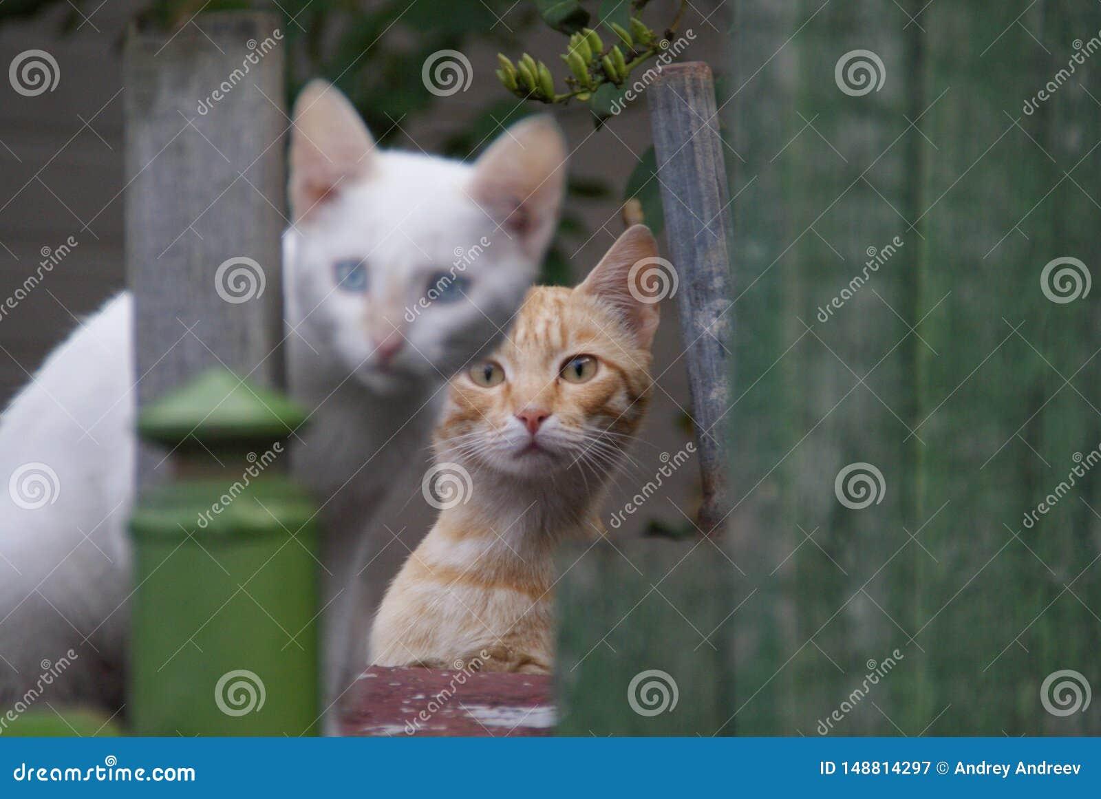 Los gatos rojos y blancos le miran