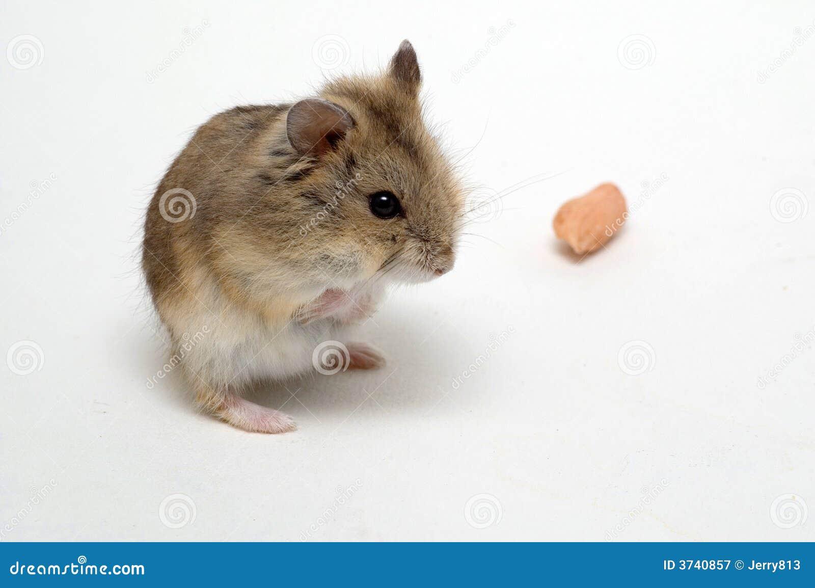 Los hámsteres comen los cacahuetes