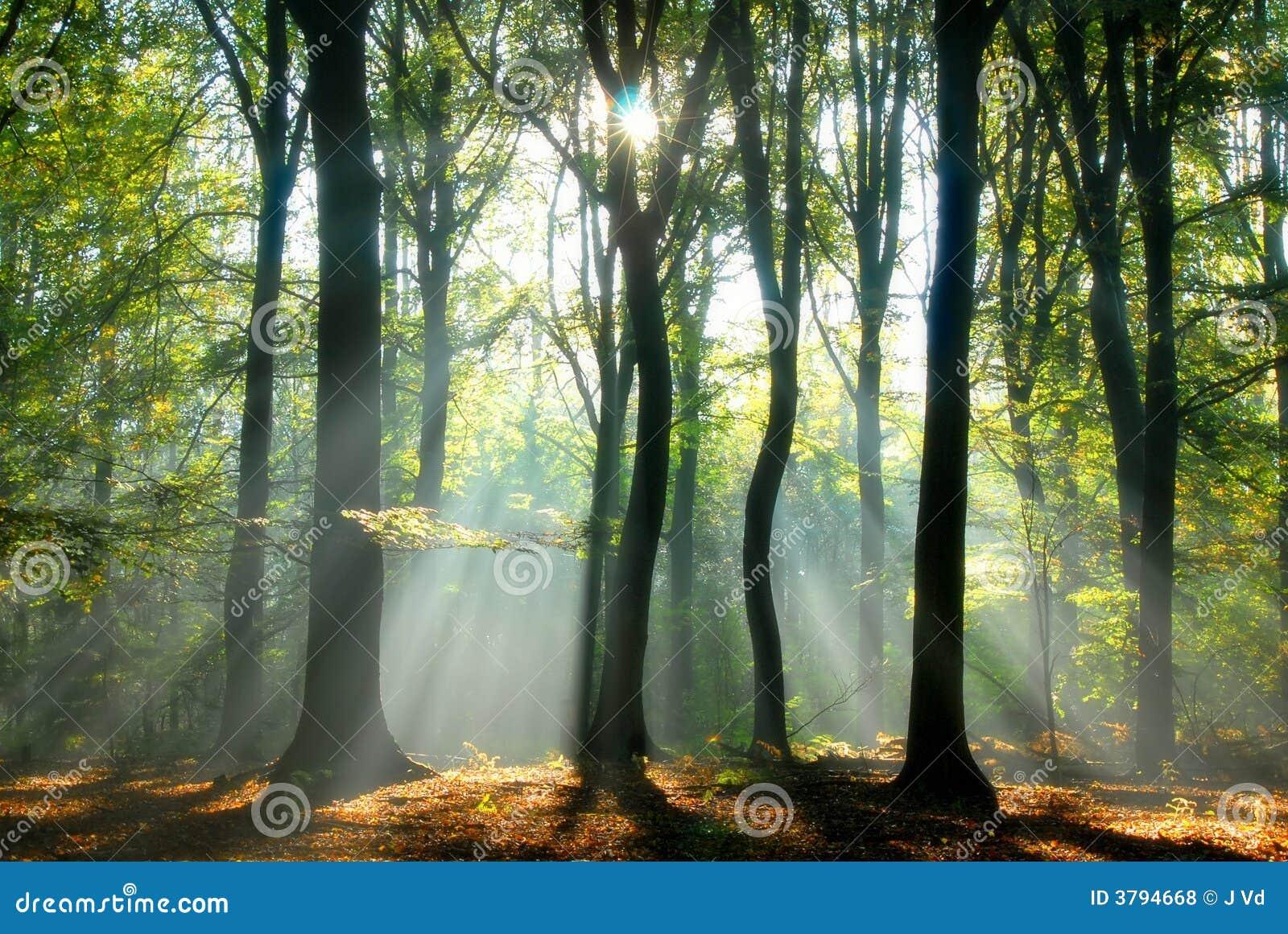 Los haces de luz vierten a través de los árboles