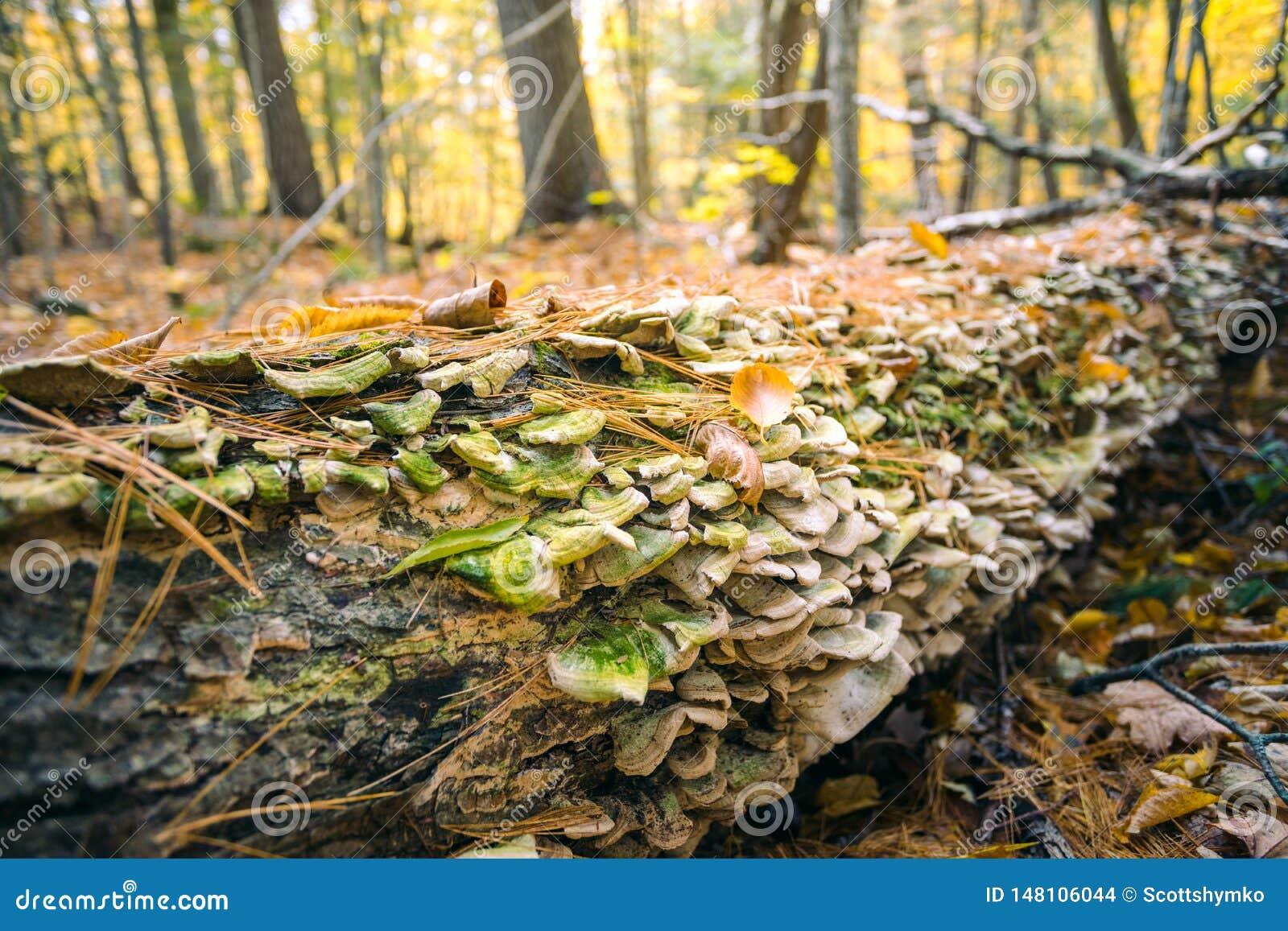 Los hongos crecen a lo largo de un árbol caido en bosque del otoño