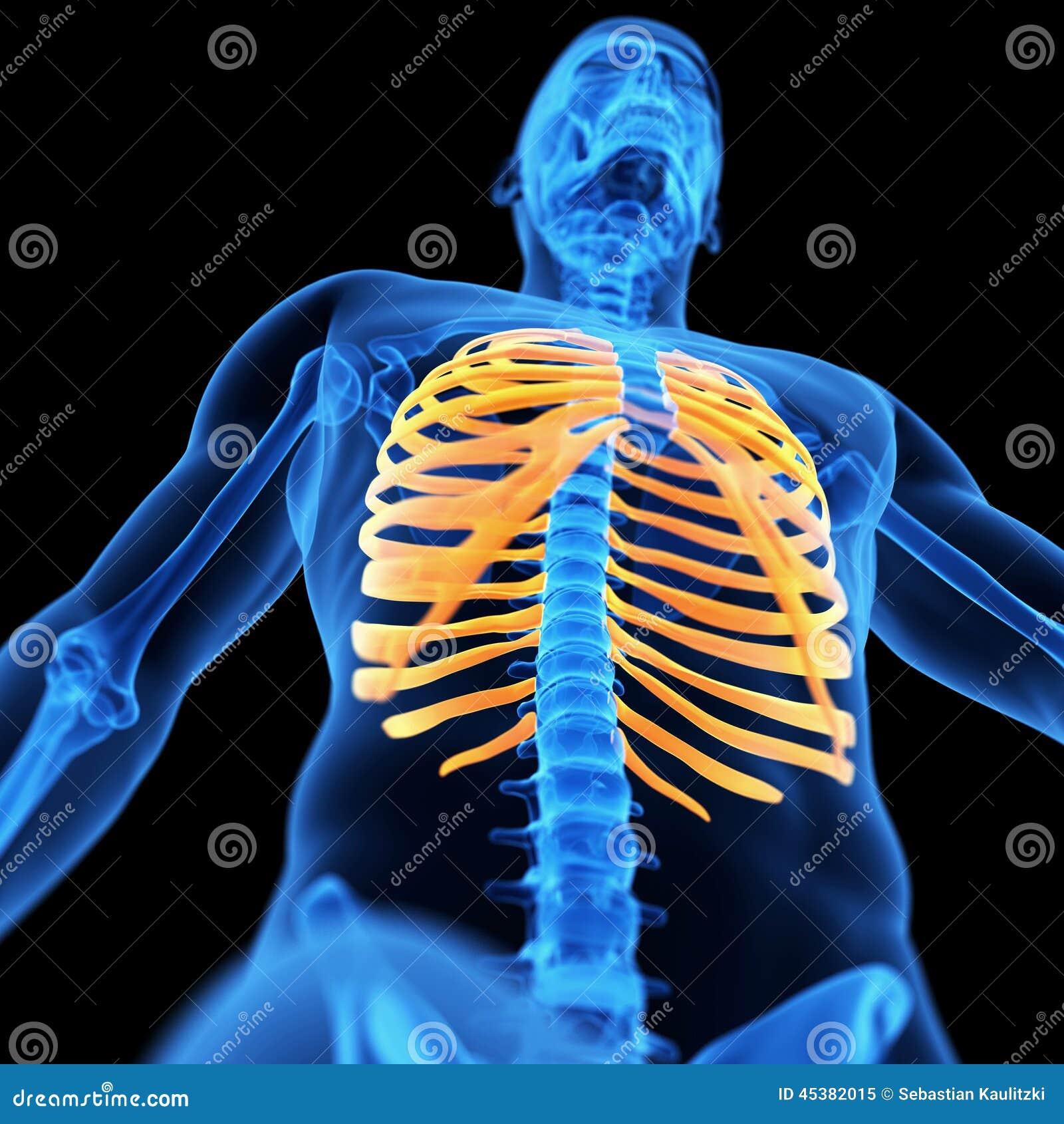 Los huesos del tórax stock de ilustración. Ilustración de ...