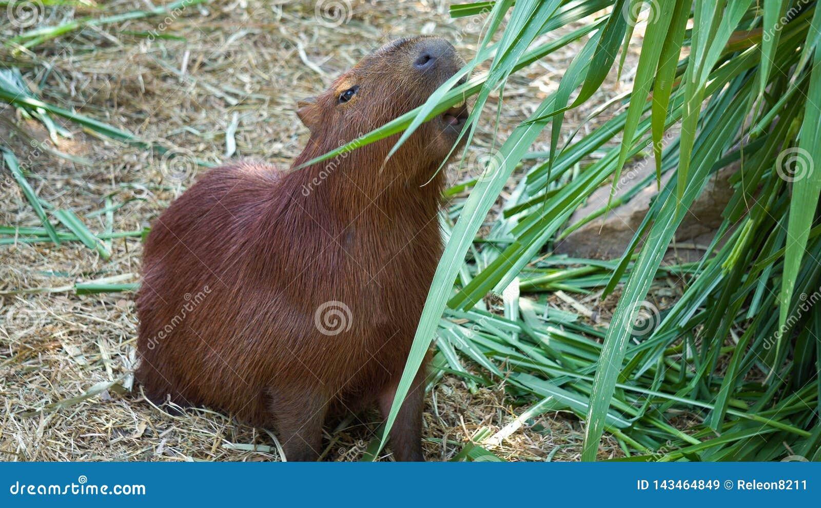 Los hydrochaeris del Hydrochoerus del Capybara son roedor grande del género