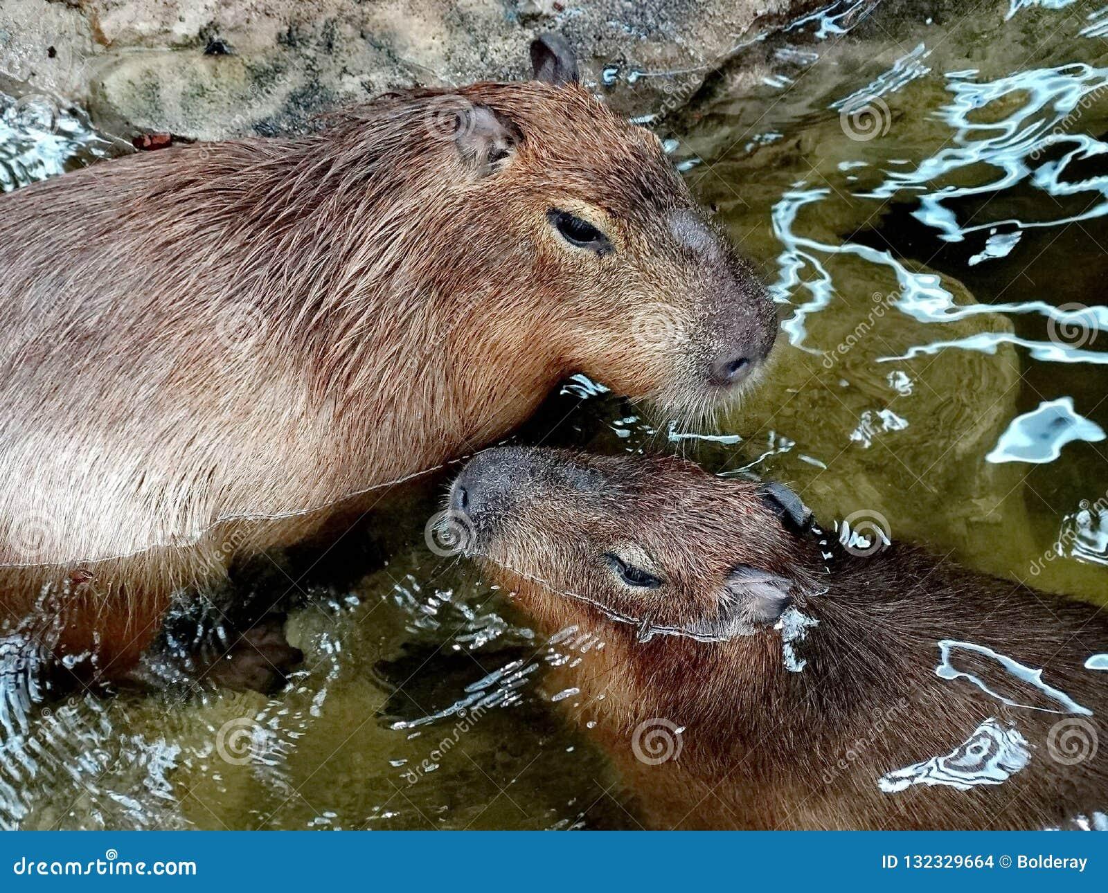 Los hydrochaeris del Hydrochoerus del Capybara son un natural del mamífero a Suramérica Es el roedor vivo más grande del mundo