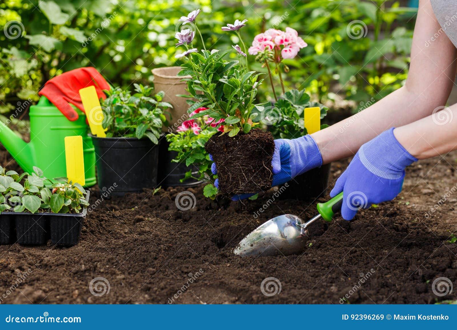 Los jardineros dan el establecimiento de las flores en el jardín, cierre encima de la foto