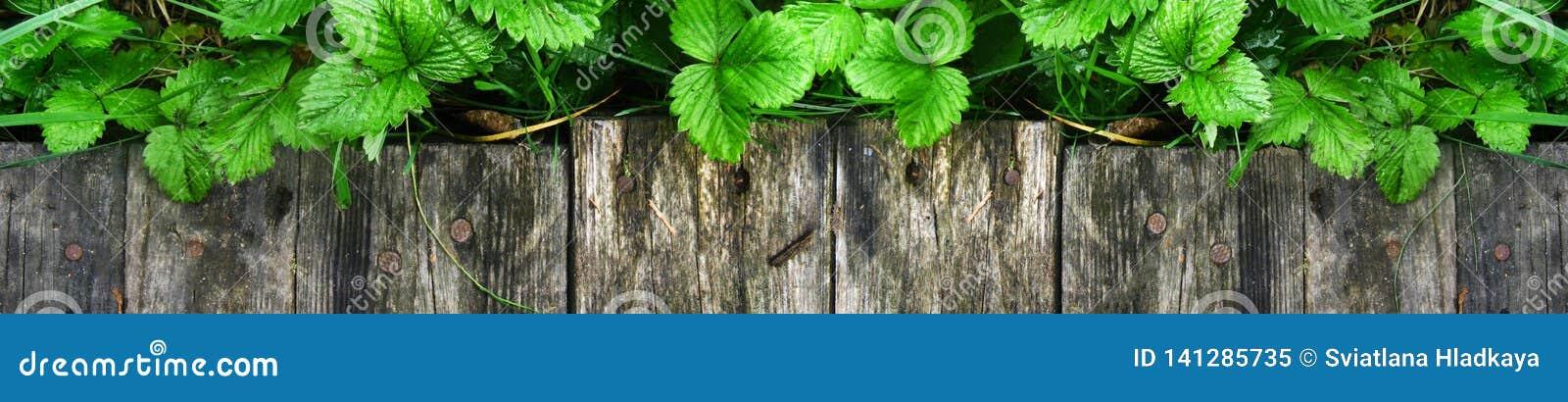Los lanzamientos y las hojas jovenes de los arbustos de fresa brillantes sin las bayas crecen cerca de la calzada de madera