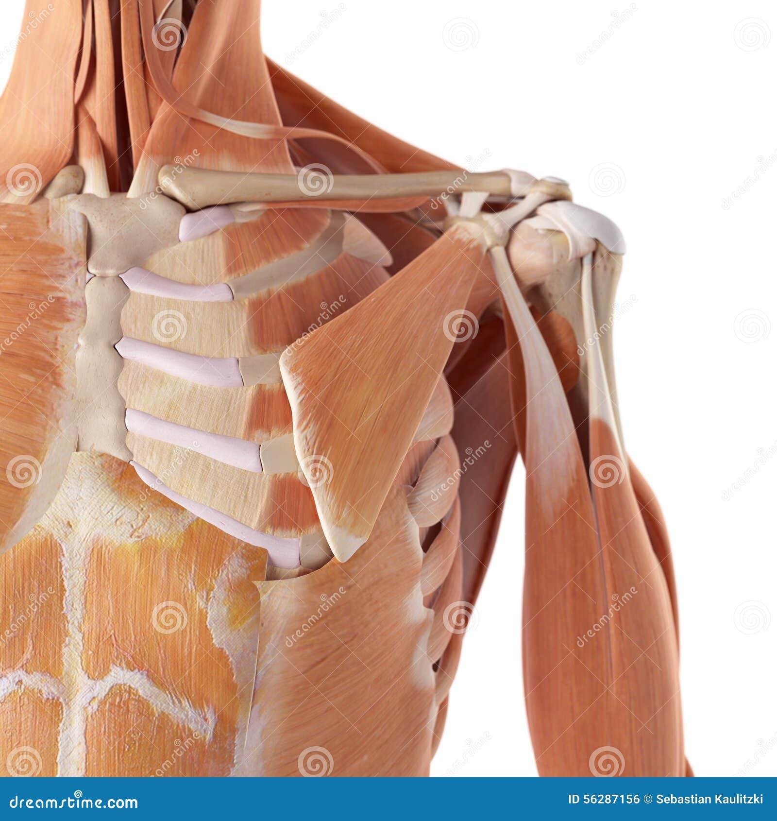 Los músculos del hombro stock de ilustración. Ilustración de minor ...