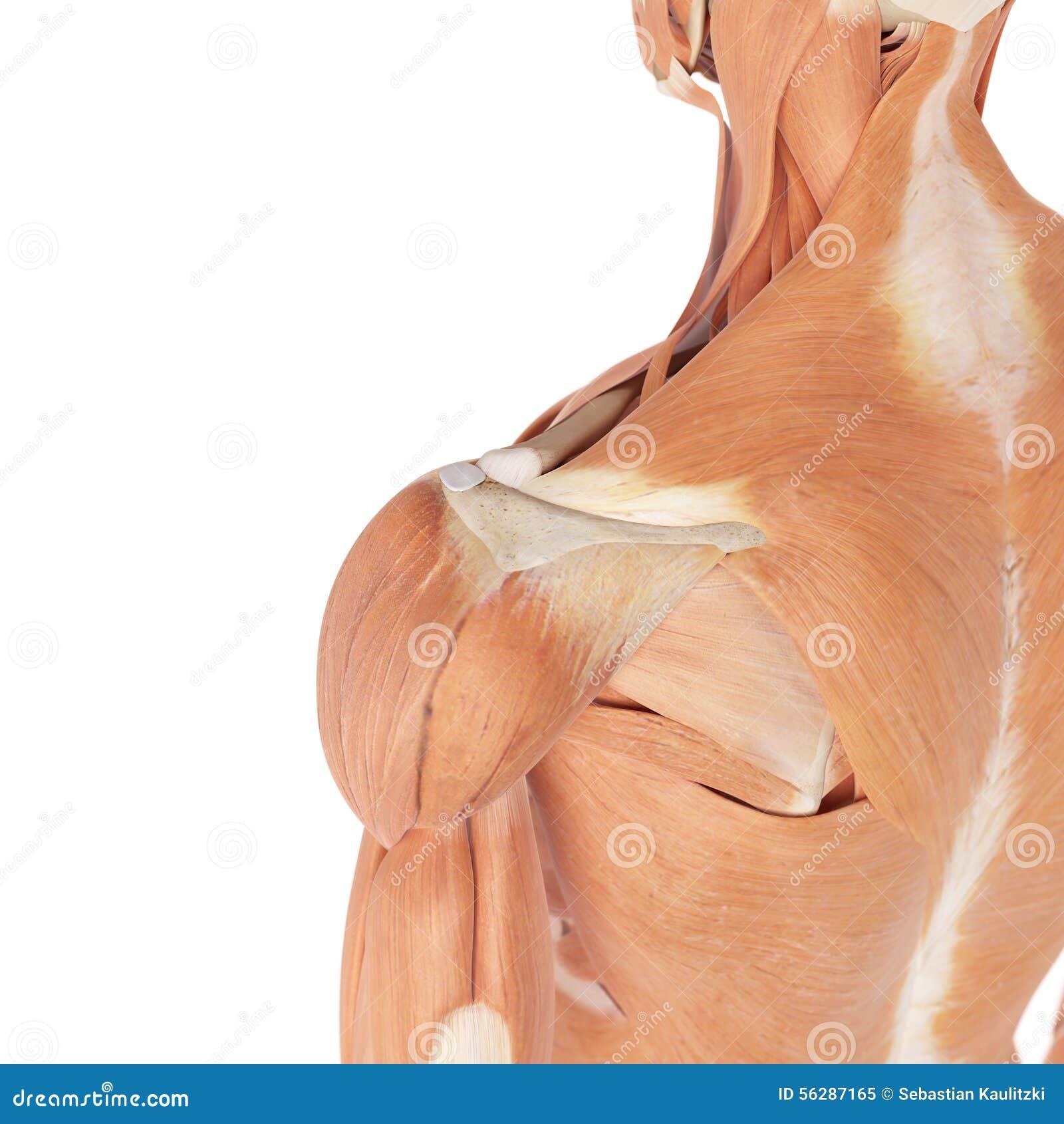 Los músculos del hombro stock de ilustración. Ilustración de músculo ...