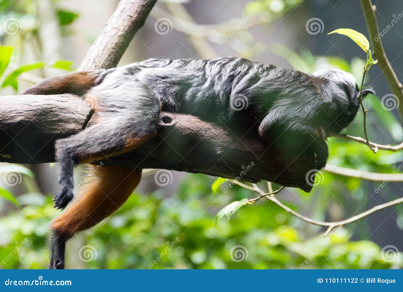 Los Monos De Araña Son Monos De Nuevo Mundo Que Pertenecen Al Género ...