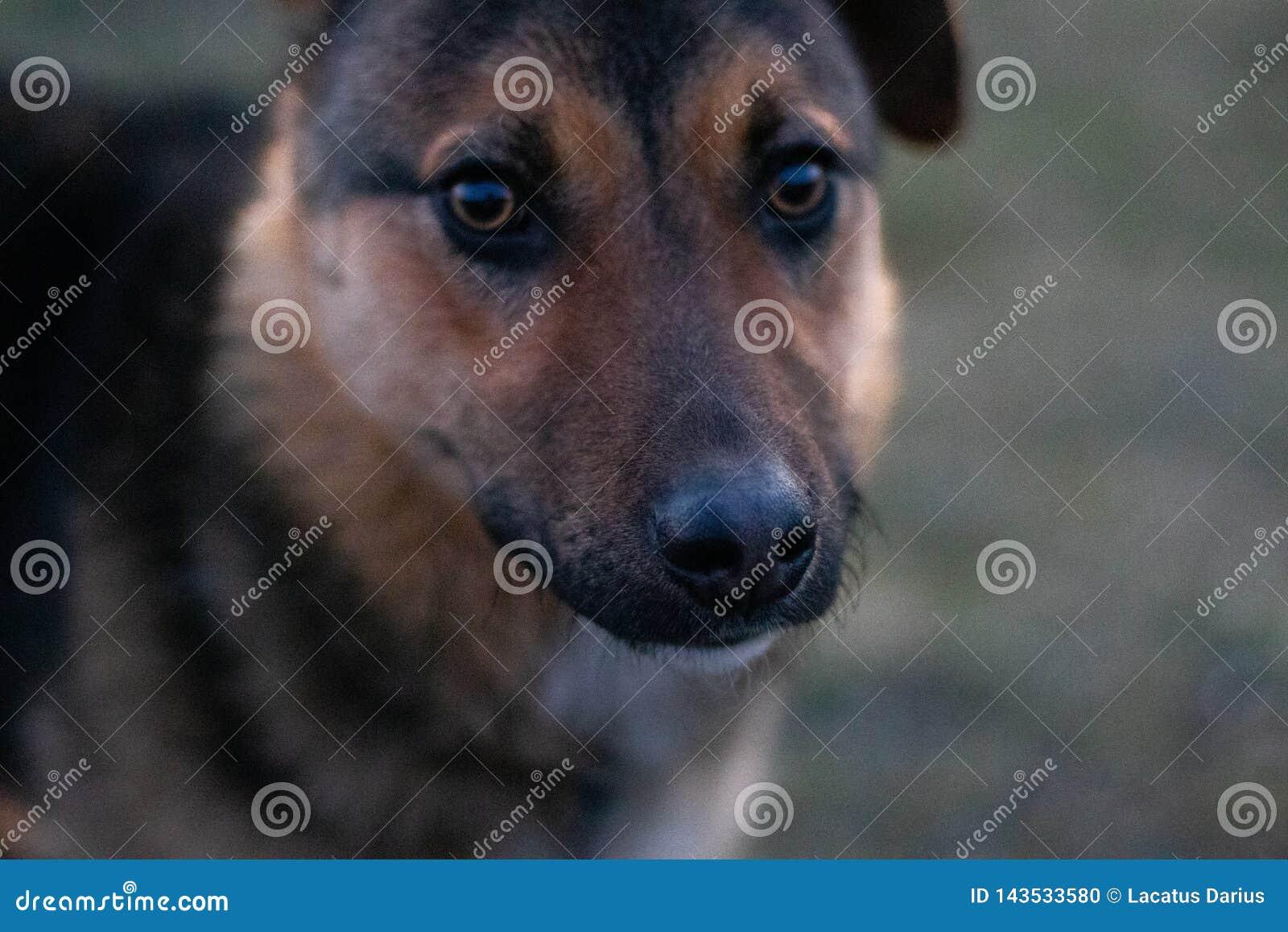 Los ojos del perro son apenas como ojos humanos