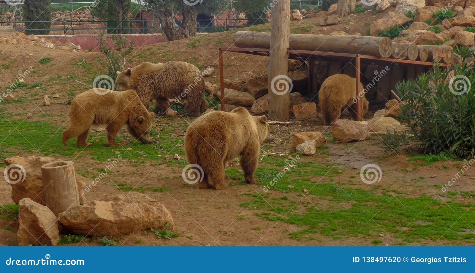 Los osos están descansando y están comiendo