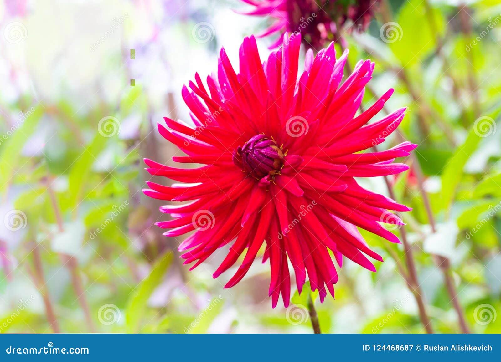 Los pétalos agudos y largos de la dalia roja magnífica florecen en th