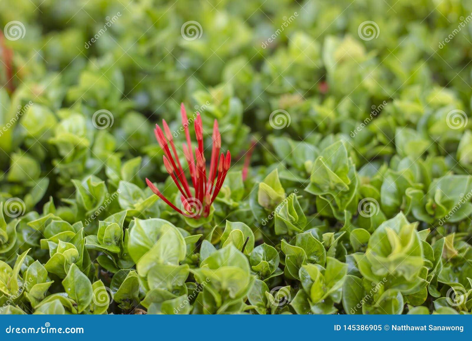 Los pétalos de la flor del punto son un manojo de hojas rojas y verdes adornadas con las casas y jardines en Tailandia