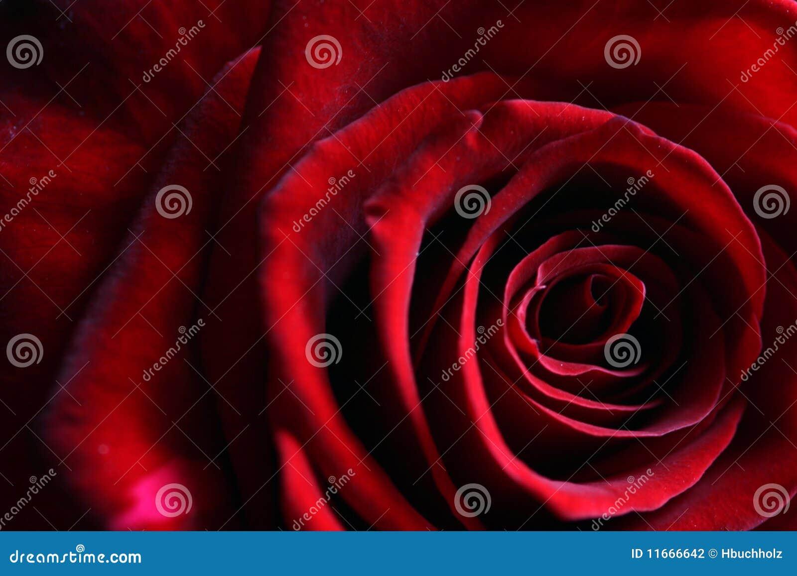Los pétalos delicados de un rojo oscuro profundo se levantaron