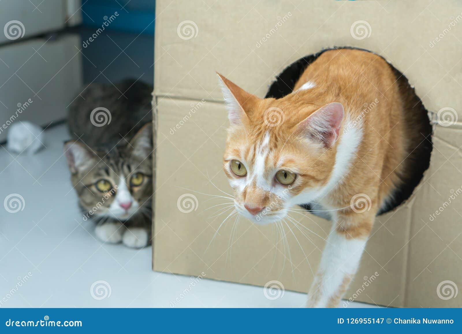 Los paseos de gato fuera de la caja grande