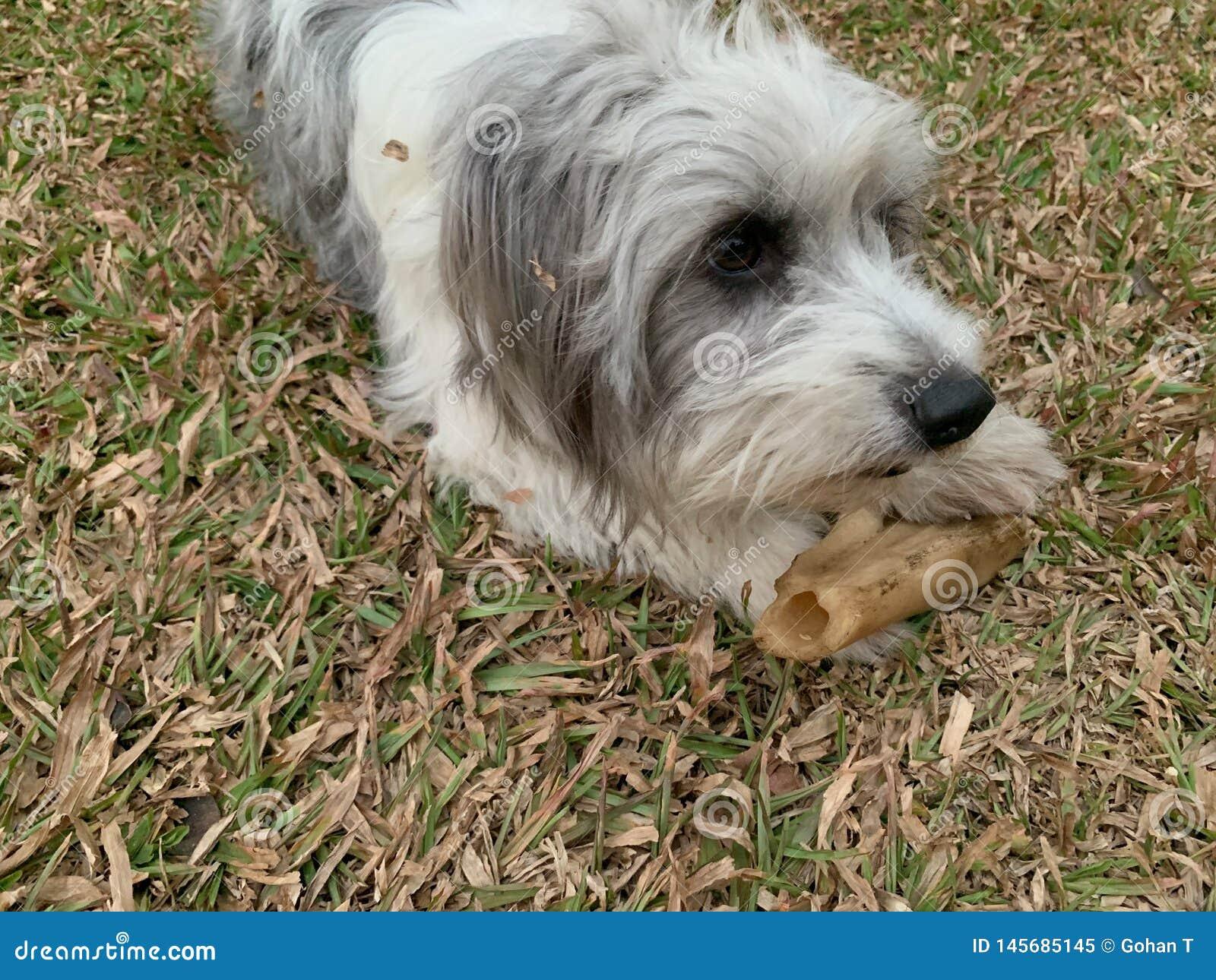 Los perros blancos lanudos de la piel están tomando un hueso grande y están jugando con el dueño
