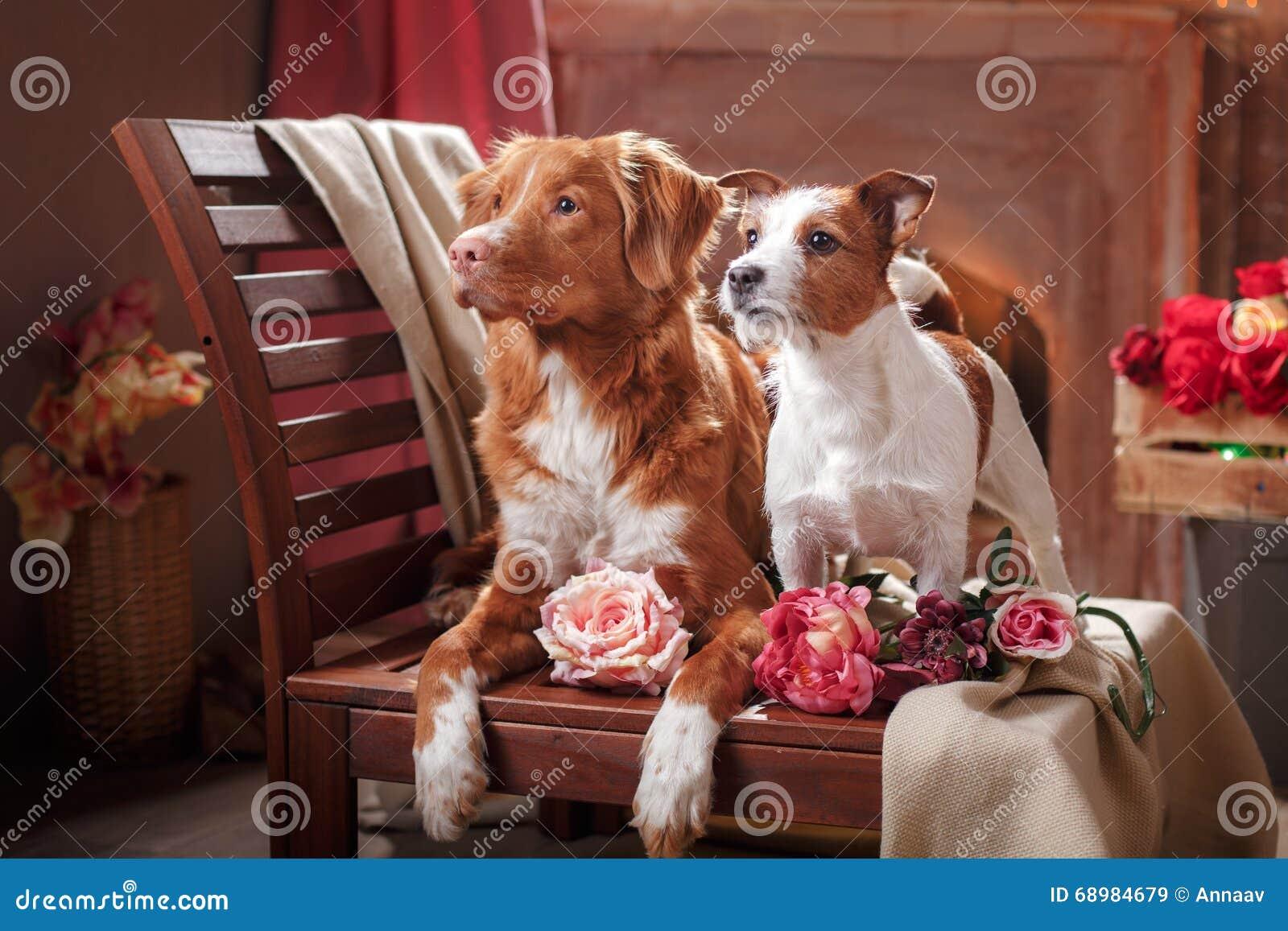 Los perros Jack Russell Terrier y el retrato de Nova Scotia Duck Tolling Retriever del perro persiguen la mentira en una silla en