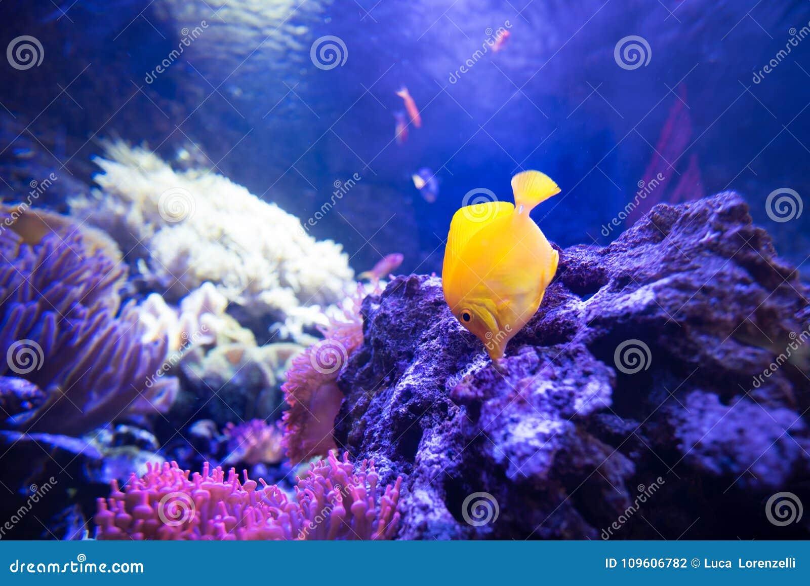 Los pescados amarillos del sabor en arrecifes de coral bajos comen de rocas vivas