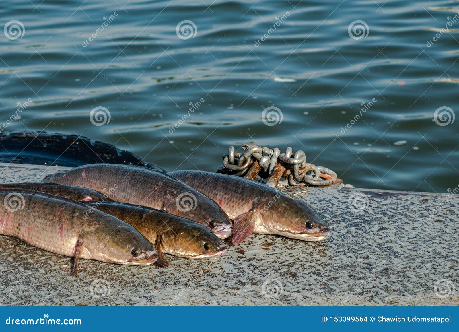 Los pescados de Snakehead se alinearon en el piso del pontón