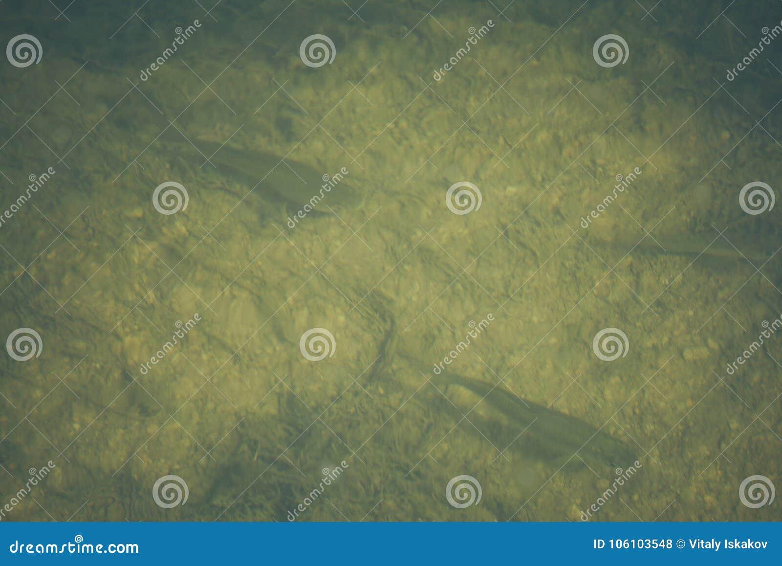 Los pescados frescos Rudd cogieron en el cebo en un cubo plástico, brema, lucio,