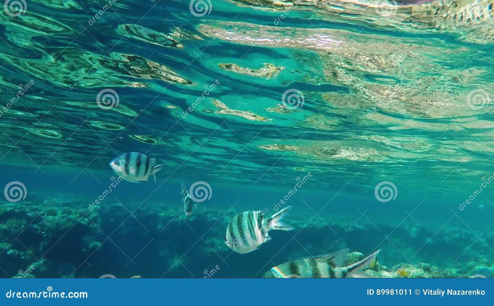 Los Pescados Tropicales Nadan No Lejos De La Superficie Del Mar ...