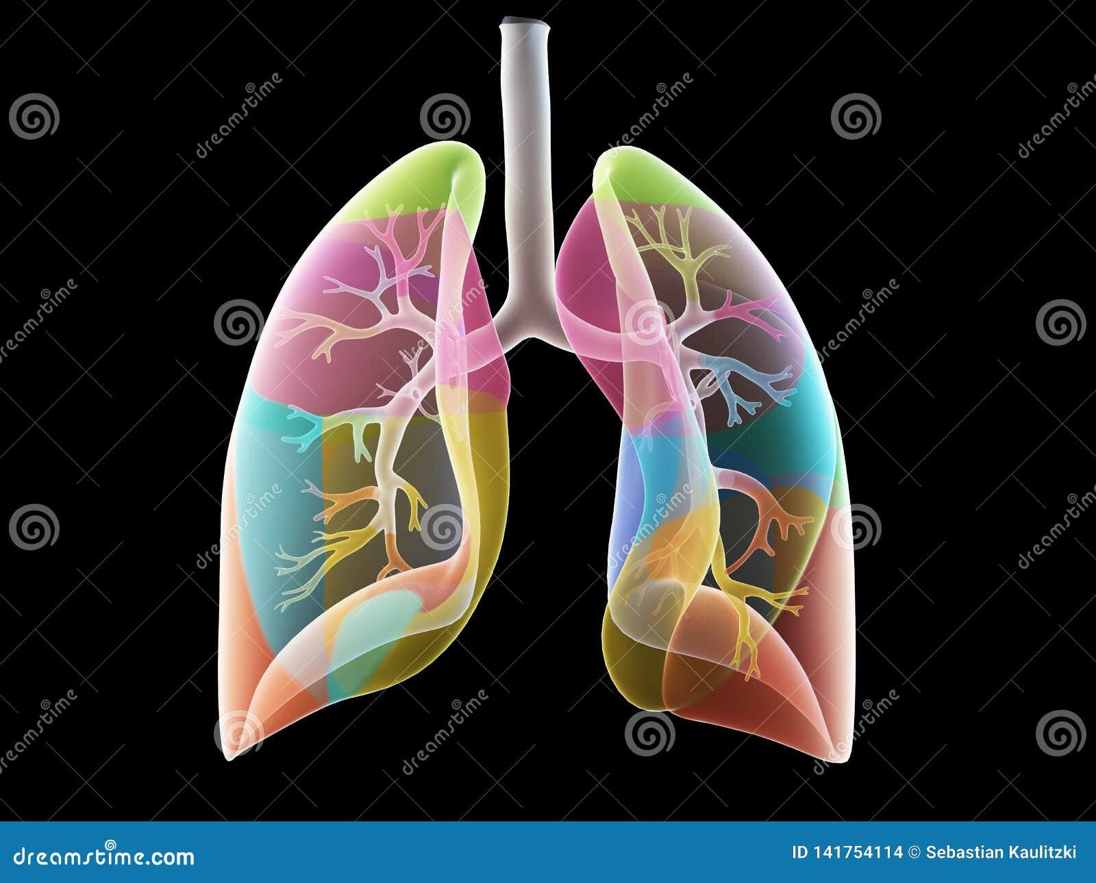 Los segmentos del pulmón