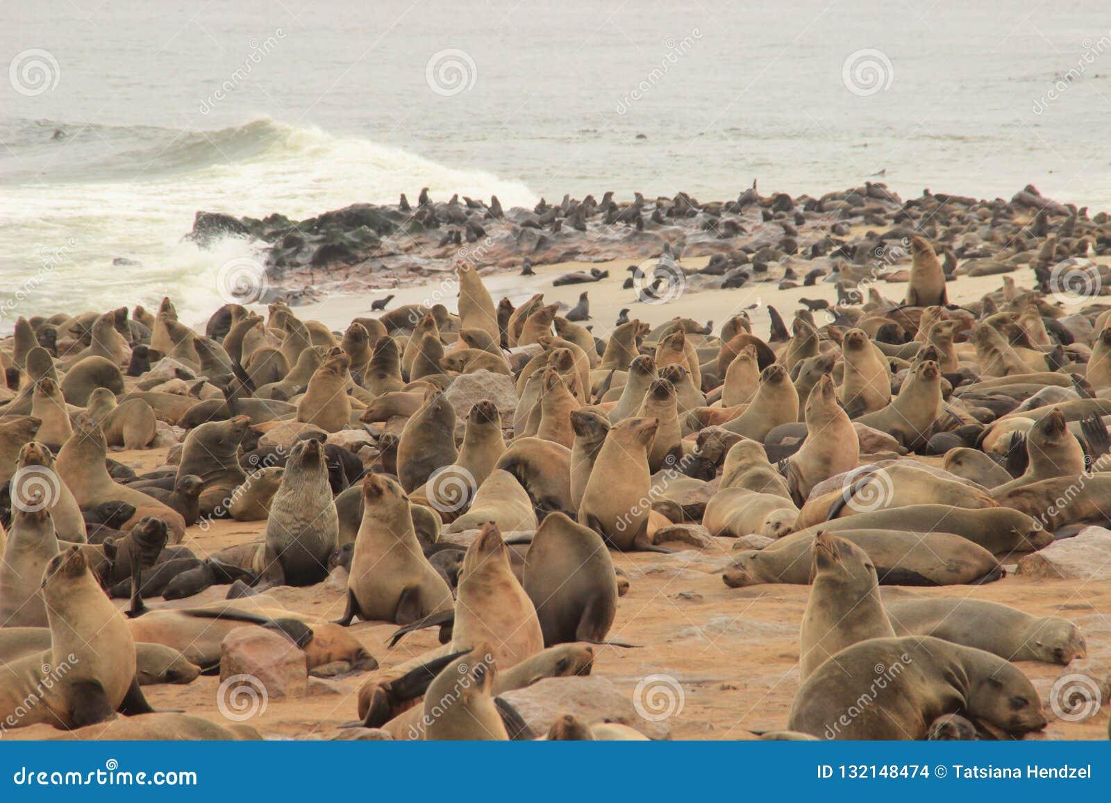 Los sellos lindos se divierten en las orillas del Océano Atlántico en Namibia