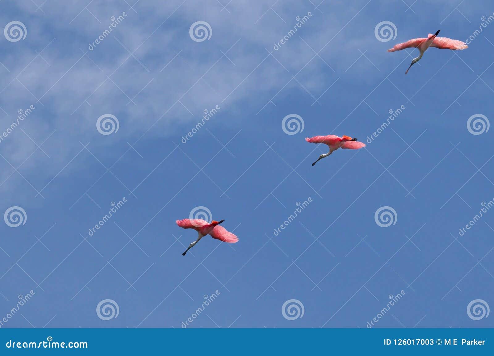 Los spoonbills rosados rosados vuelan en una línea de la formación