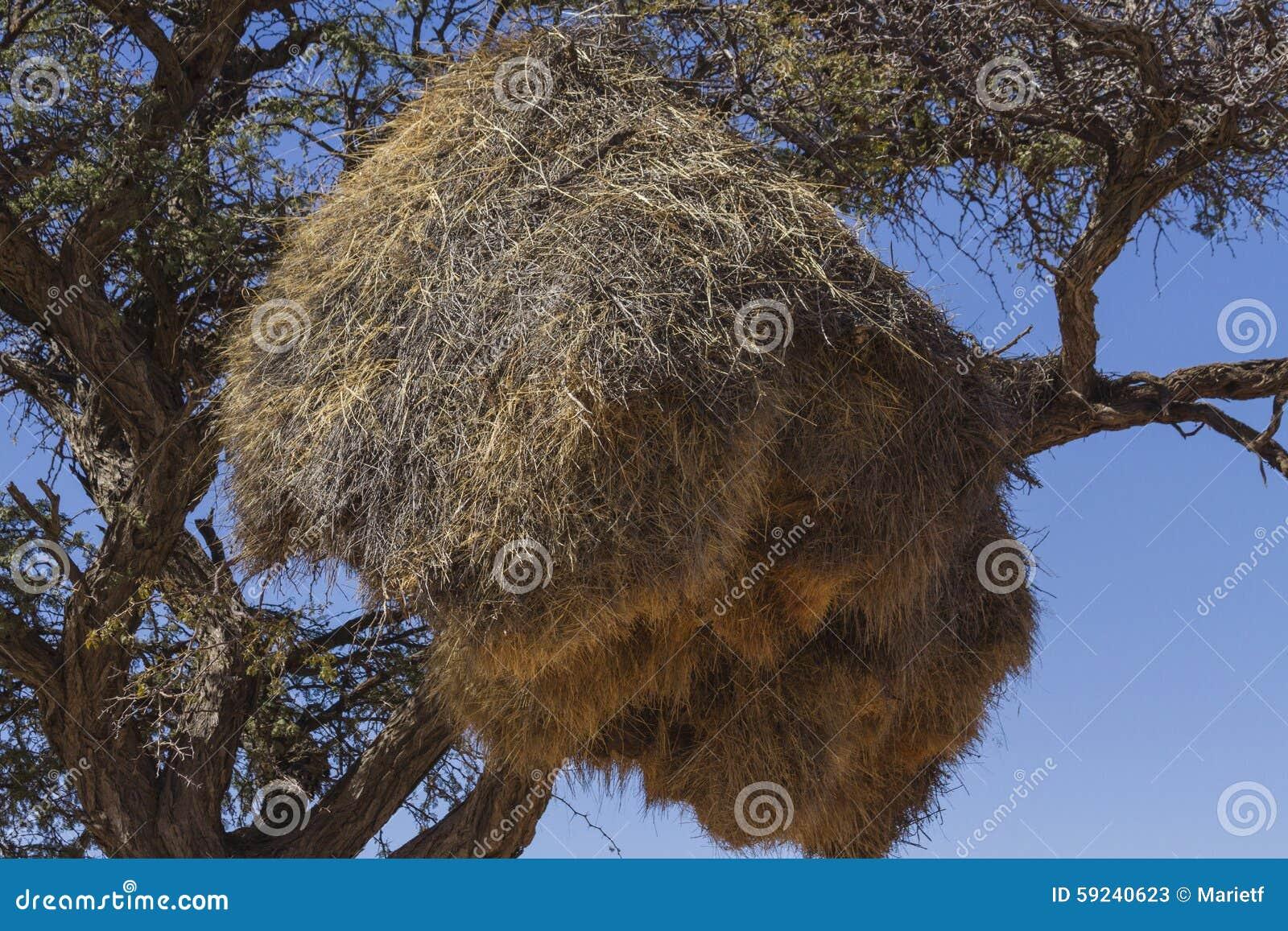 Download Los Tejedores (sociales) Sociables Jerarquizan En árbol Del Acacia Imagen de archivo - Imagen de ramitas, árido: 59240623
