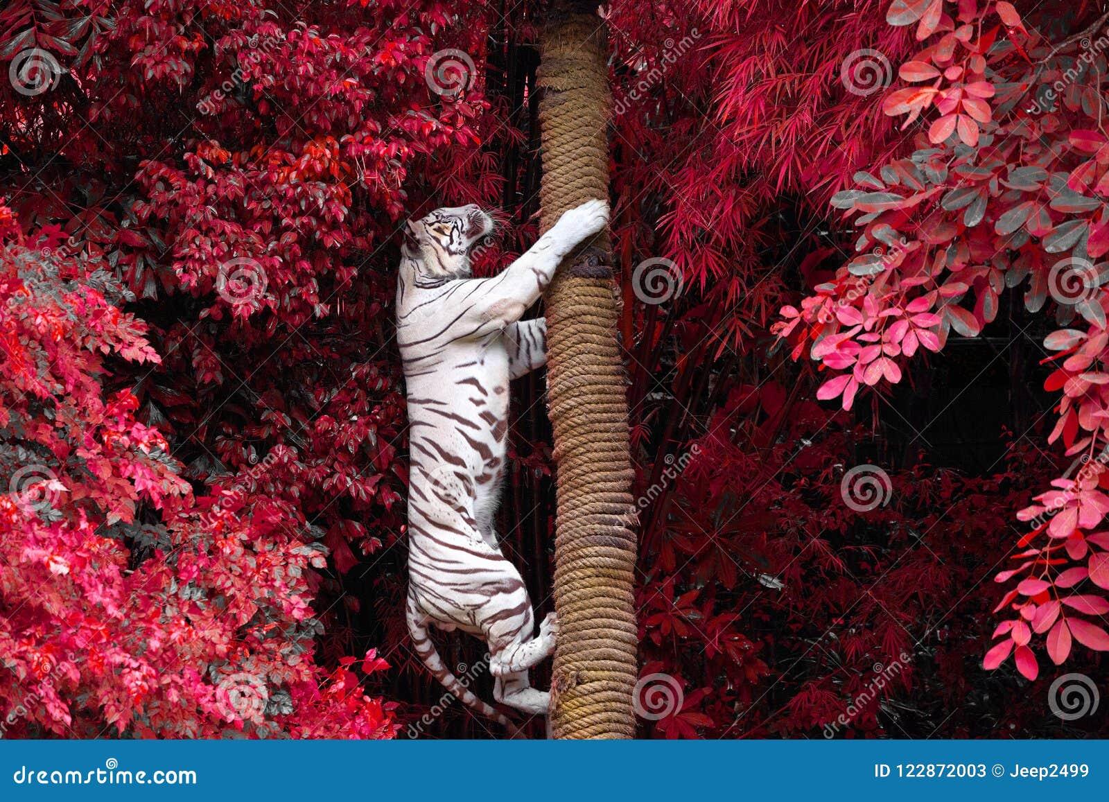 Los Tigres Blancos Están Subiendo árboles En La Naturaleza Salvaje