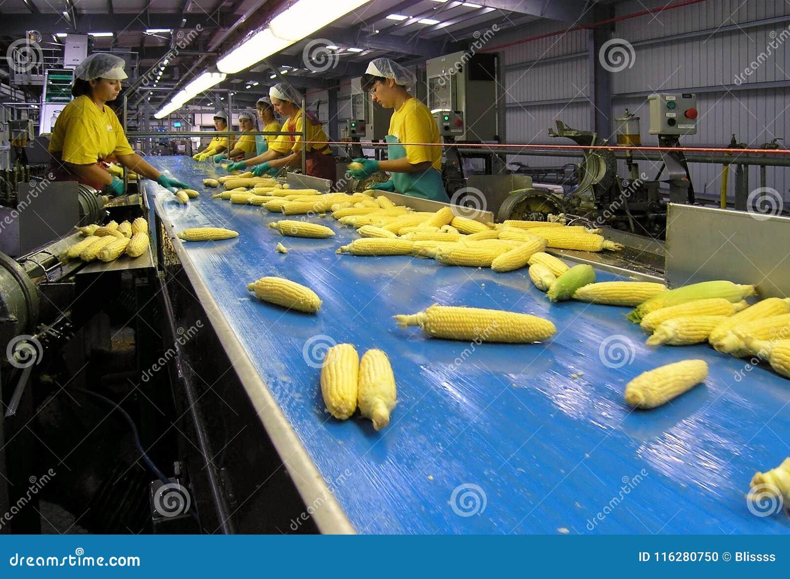 Los trabajadores de sexo femenino de la fábrica de proceso del maíz de Boduelle arreglan los oídos de maíz frescos crudos aliment