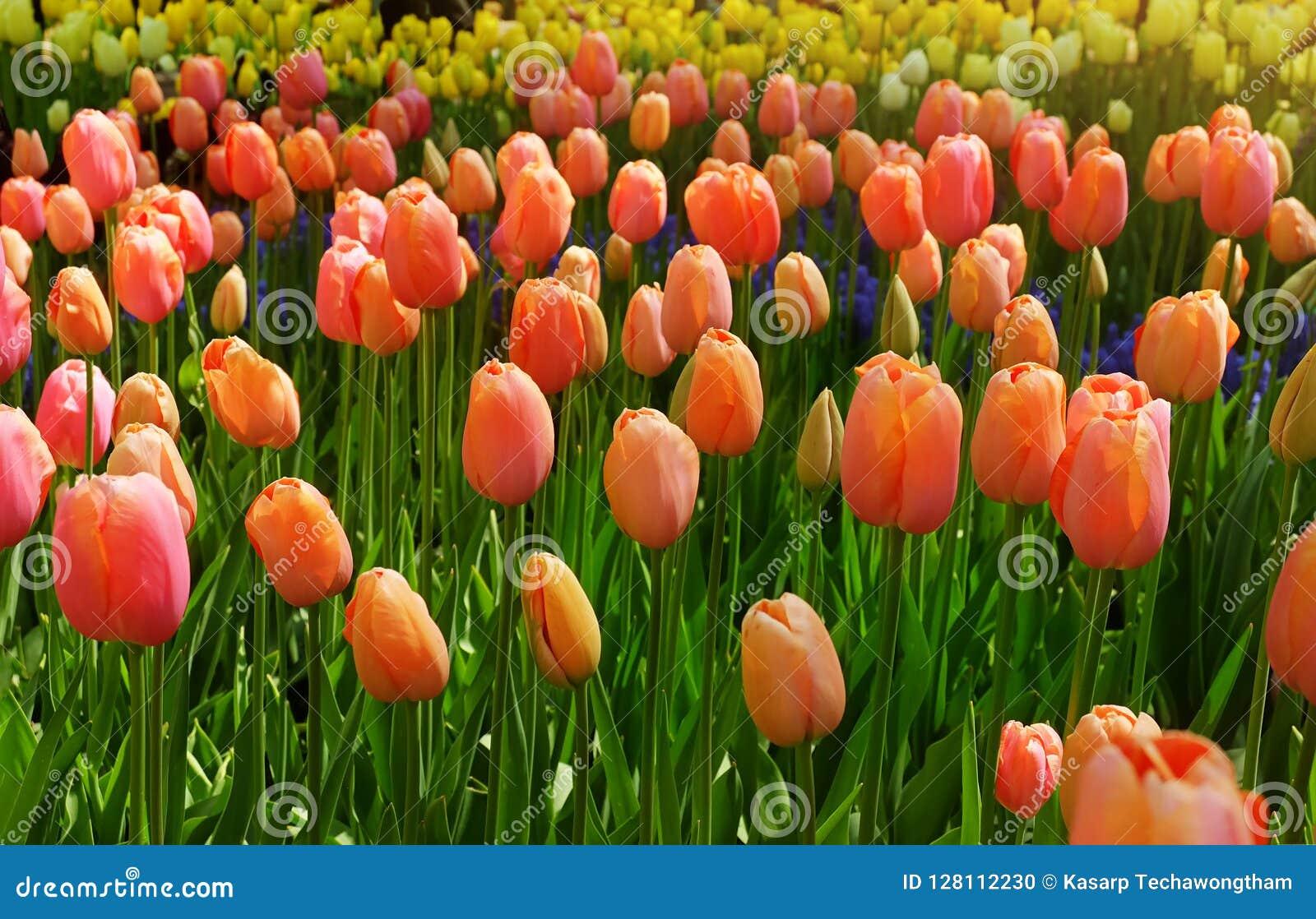 Los tulipanes rojos hermosos florecen en tulipanes colocan en los vagos de los jardines de los tulipanes