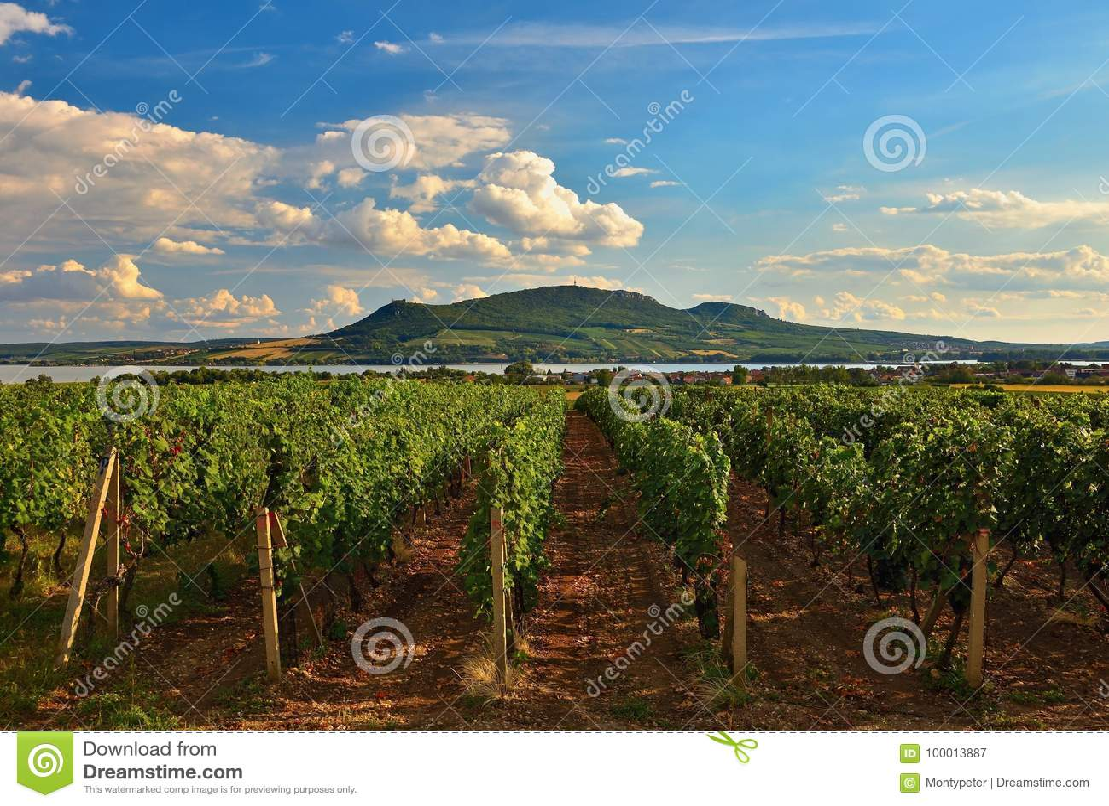 Los viñedos en la puesta del sol en otoño cosechan las uvas maduras Región del vino, Moravia meridional - República Checa Viñedo