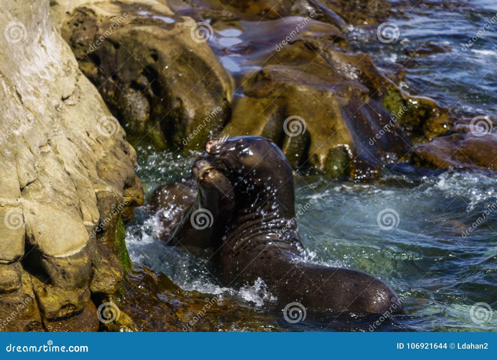Losu Angeles Jolla zatoczki fok zamknięty up
