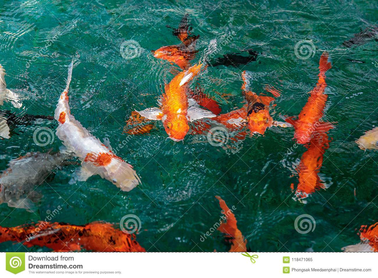 A Lot Of Fancy Carp Or Or Koi Fish Orange Or Gold Color, Swimming In ...