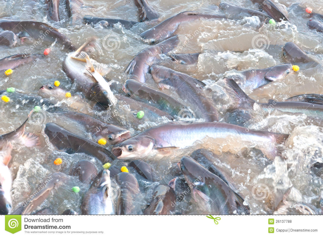 Lot Of Fish On River Surface Royalty Free Stock Photos