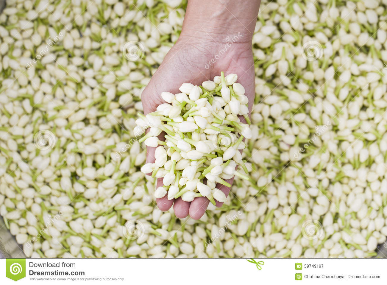 A Lot Of Jasmine Flower In Hand Stock Image Image Of Culture
