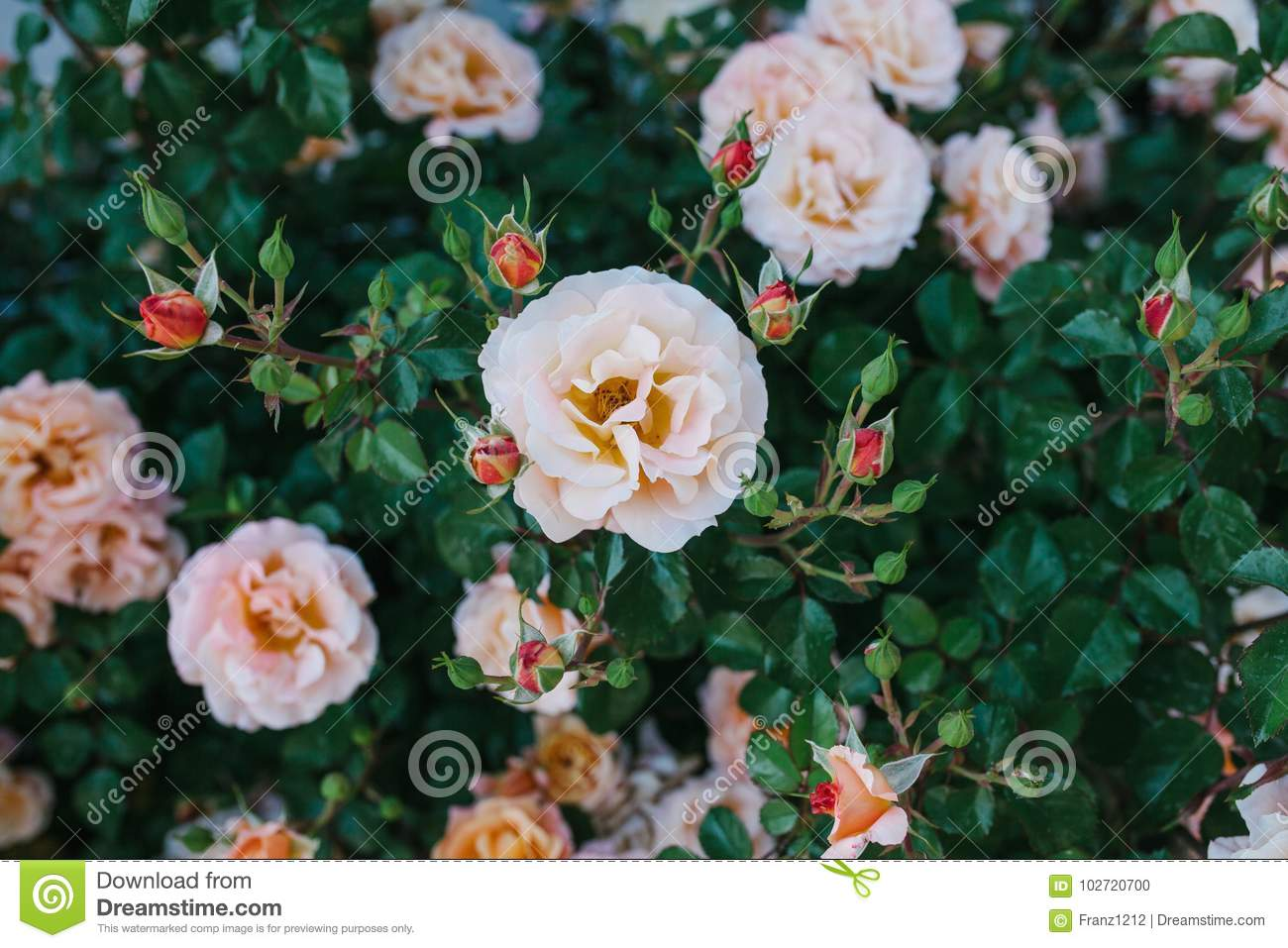 Lot Of Lovely Pink Flowers Of Dogrose On The Background Of Green