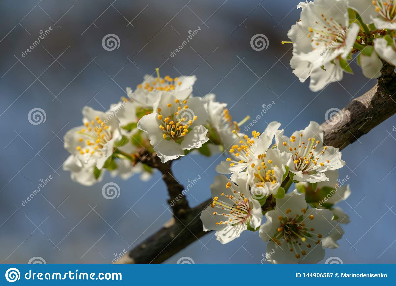 Lot of red flowers Japanese quince or Chaenomeles japonica covered branches on blurred garden background. Spring sunny day