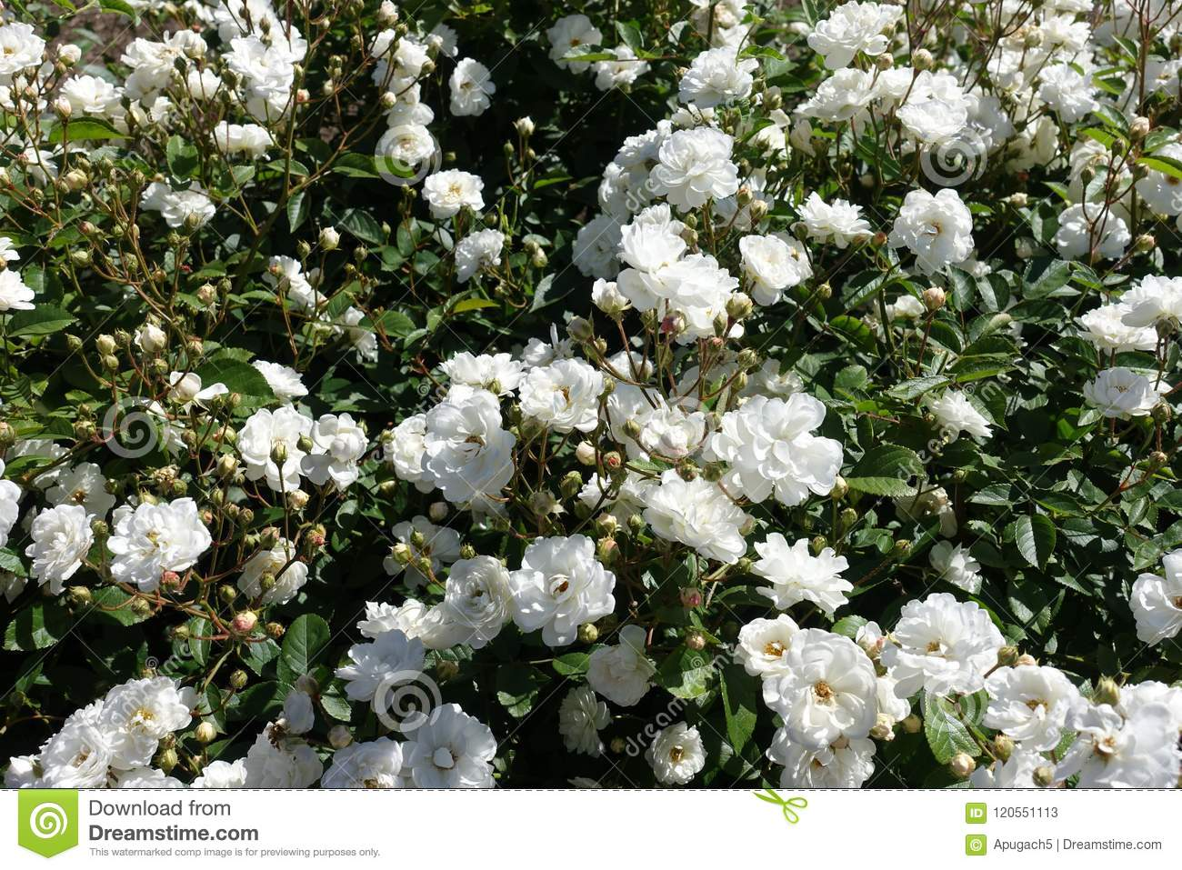 A Lot Of White Flowers Of Rose Stock Image Image Of Leaflets