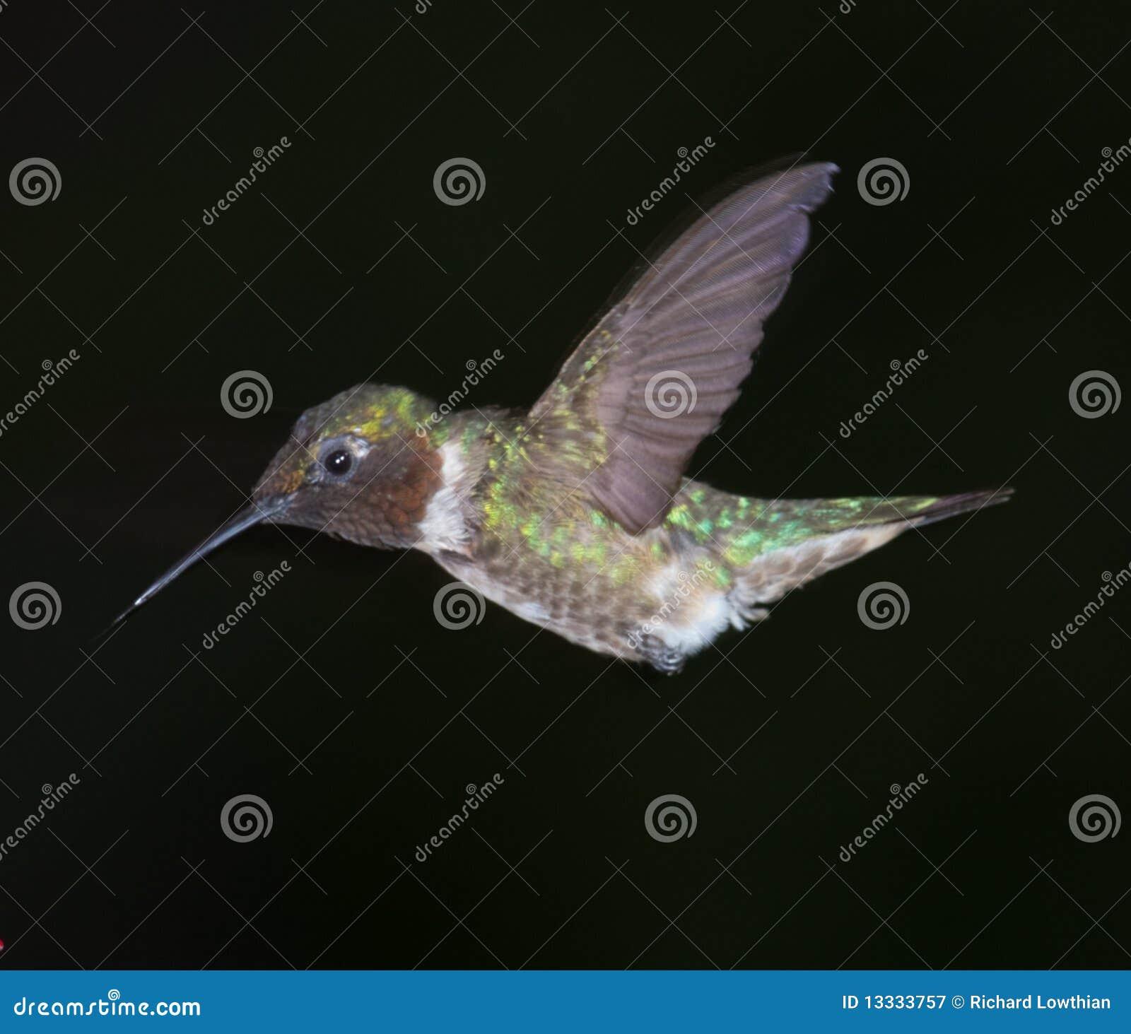 Lota hummingbird