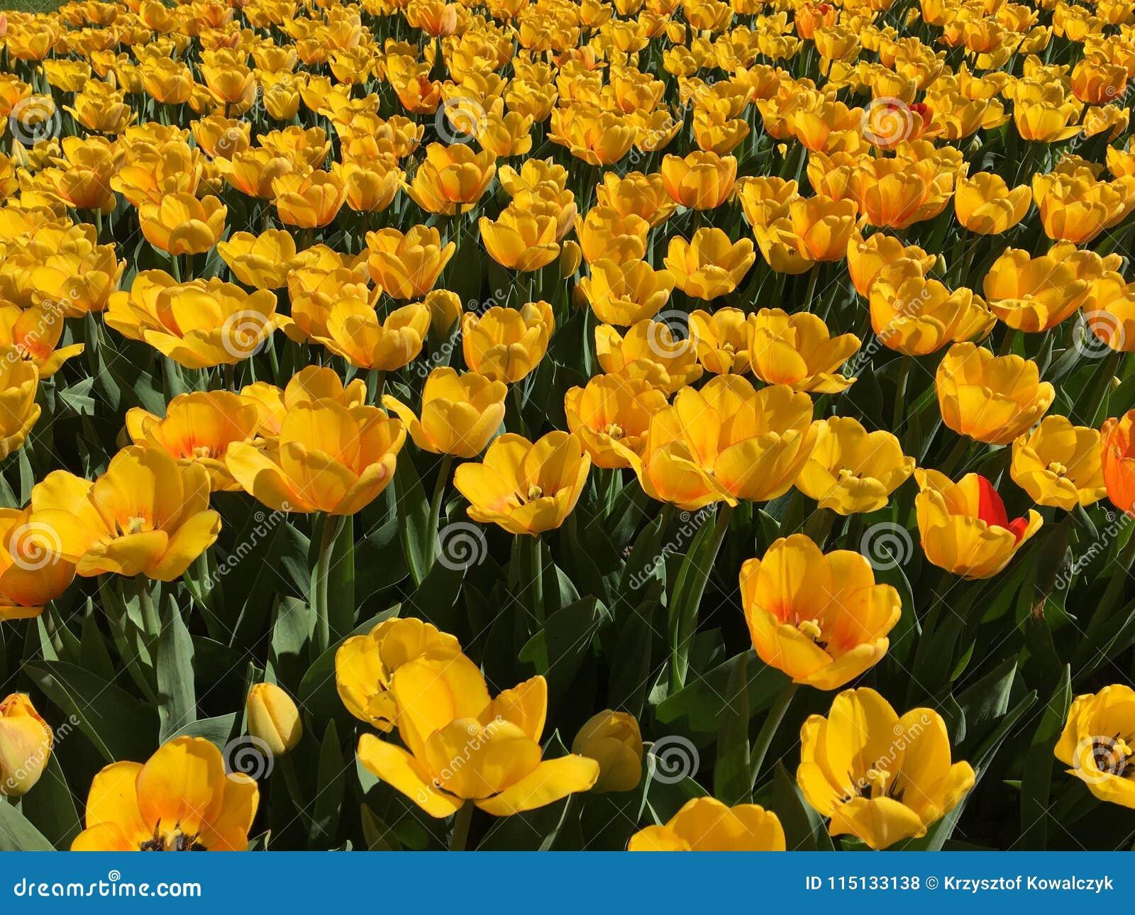 Lotes De Flores Amarelas Da Tulipa Nome Beleza Da Mola Foto De