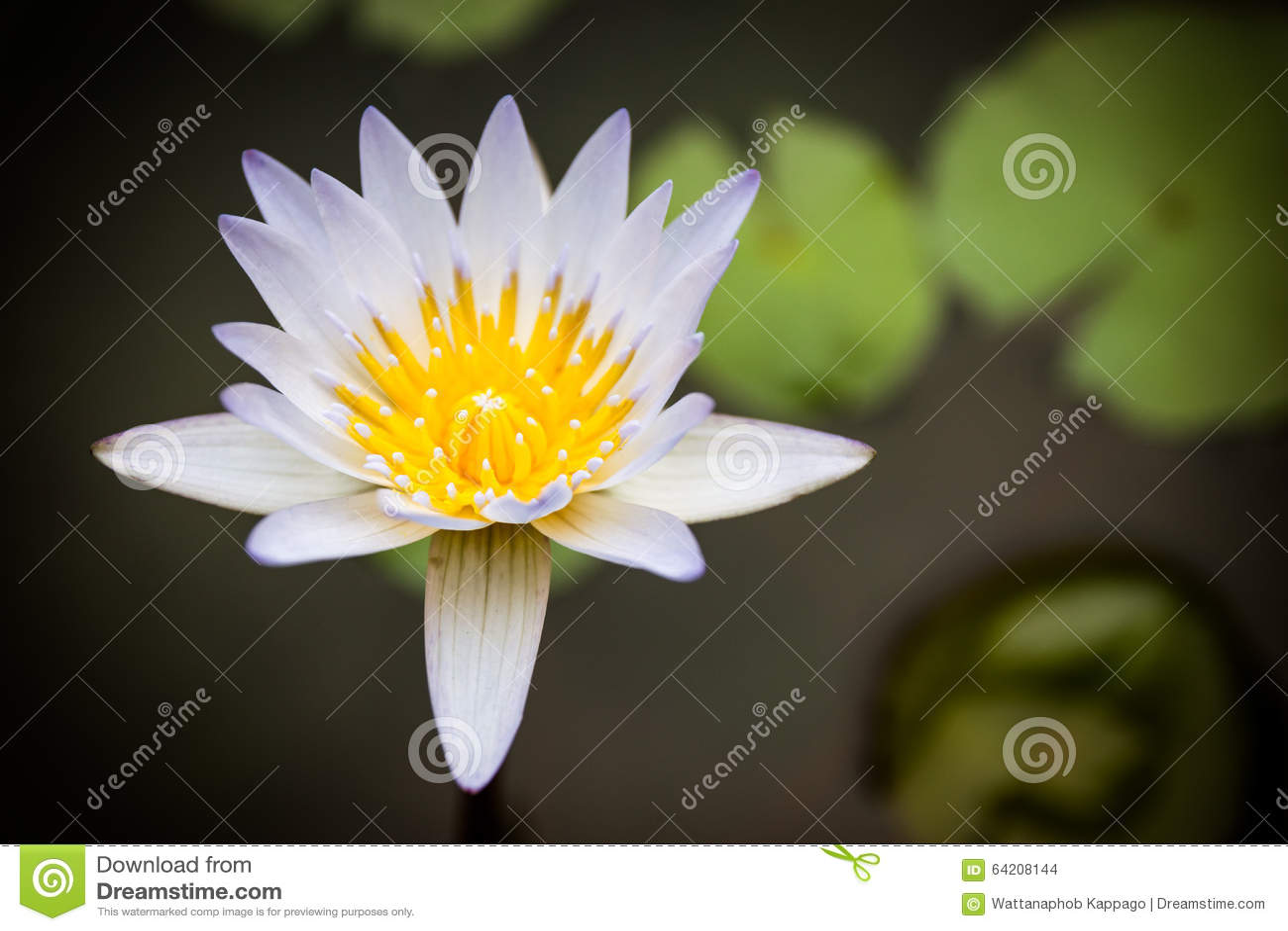 Loto blanco hermoso