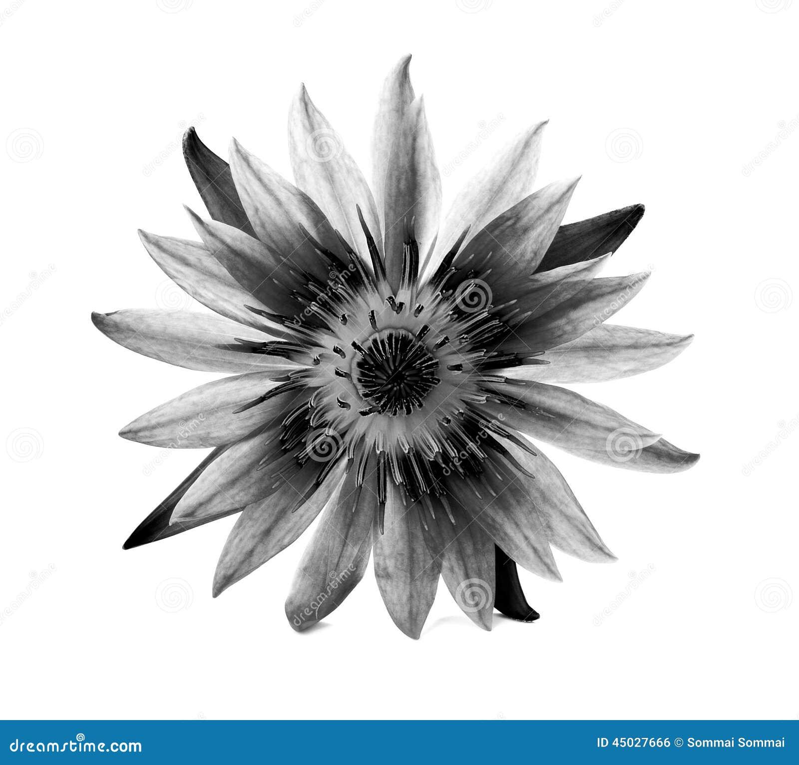 Loto hermoso (sola flor de loto en el fondo blanco