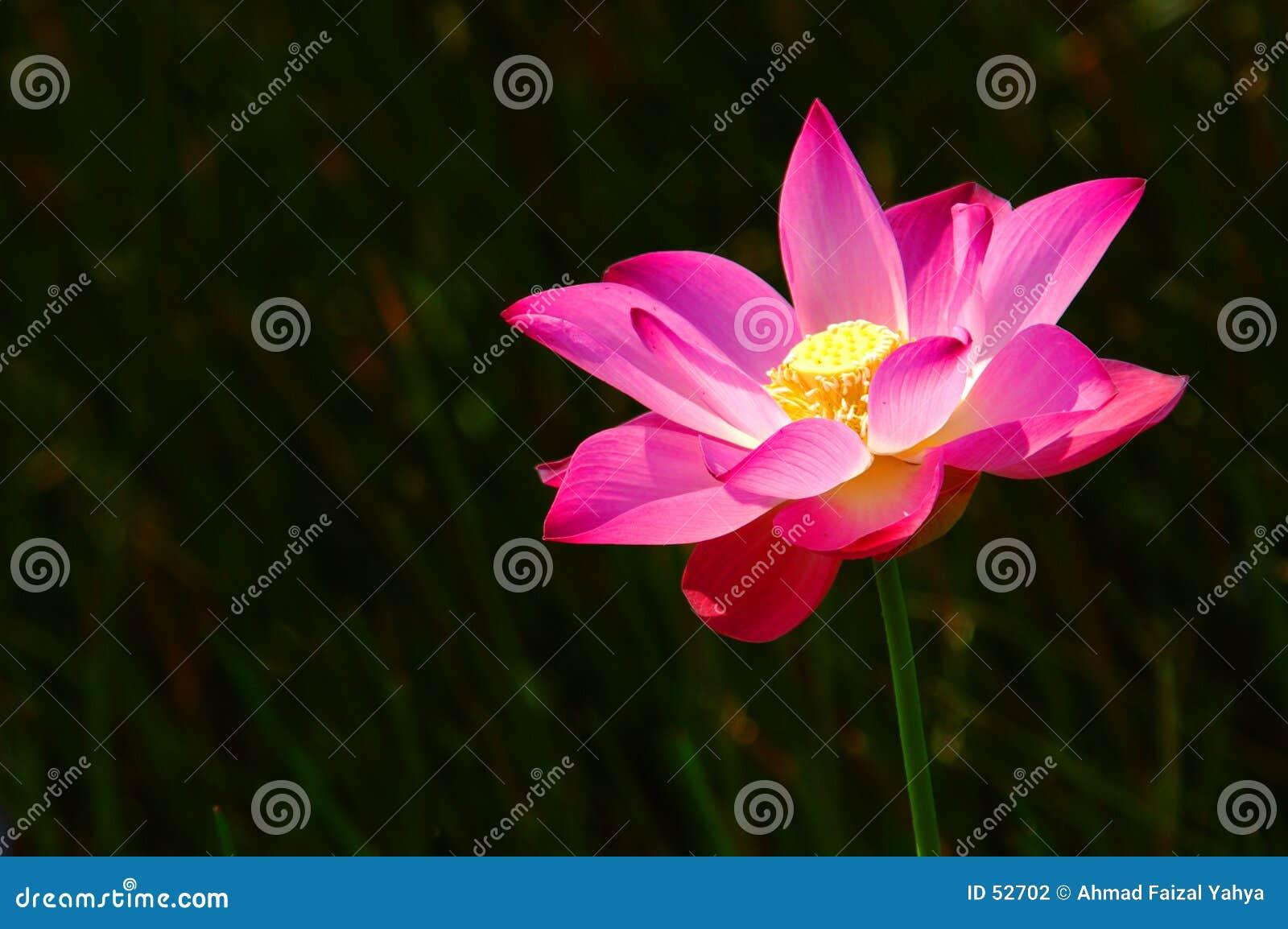 Loto rosado 2