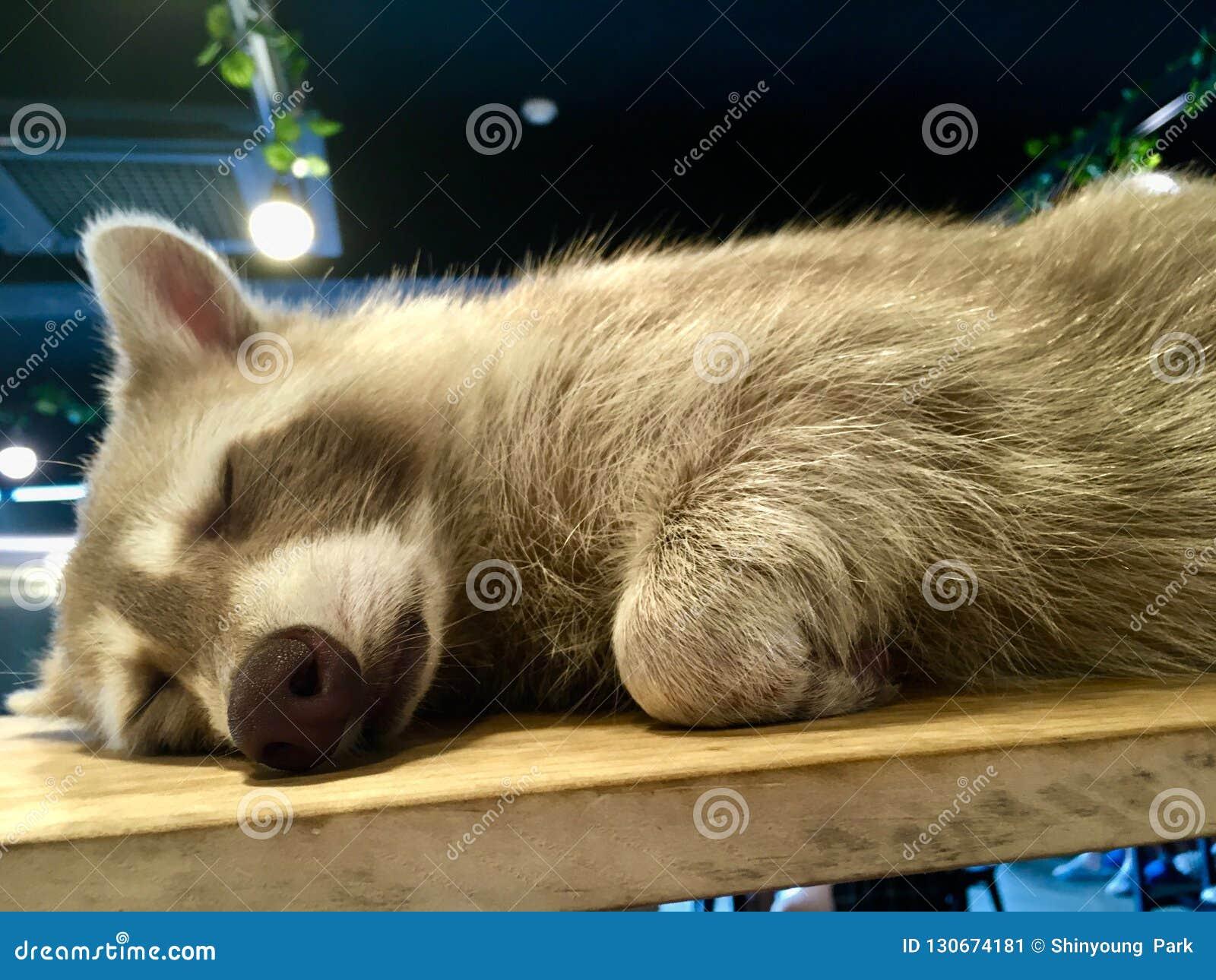 Lotor Procyon ρακούν ύπνου με την ανοικτό γκρι γούνα