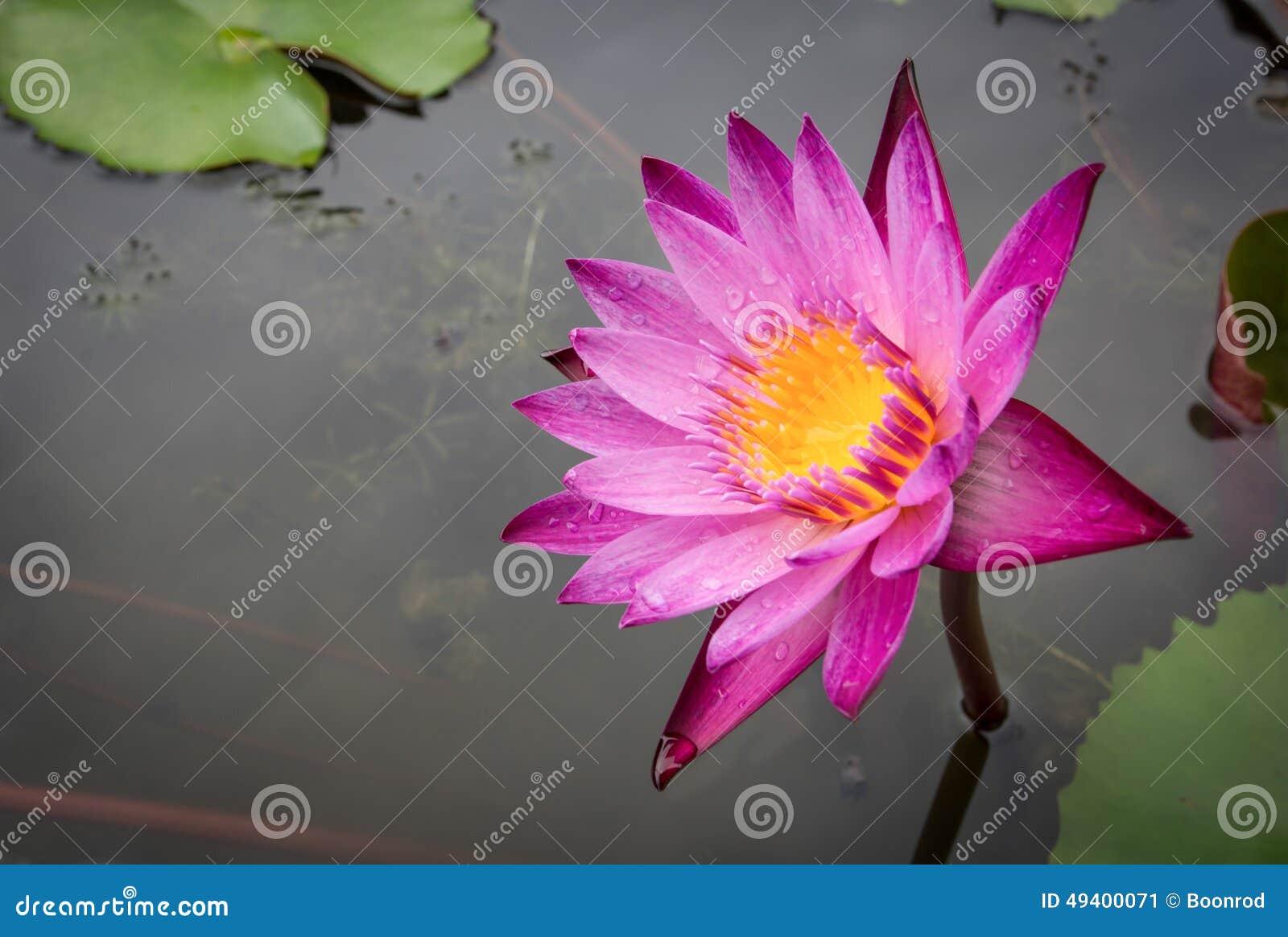 Download Lotosblume Zenabbildung stockbild. Bild von magenta, thailand - 49400071
