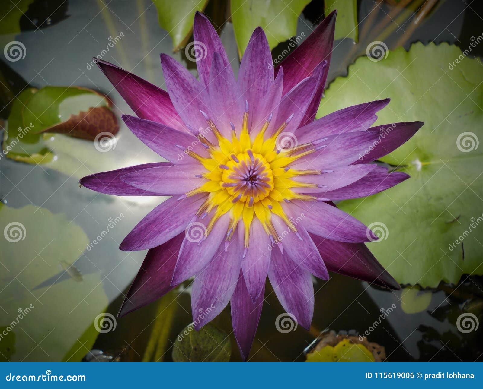Lotosowe kolorowe purpury w ogródzie