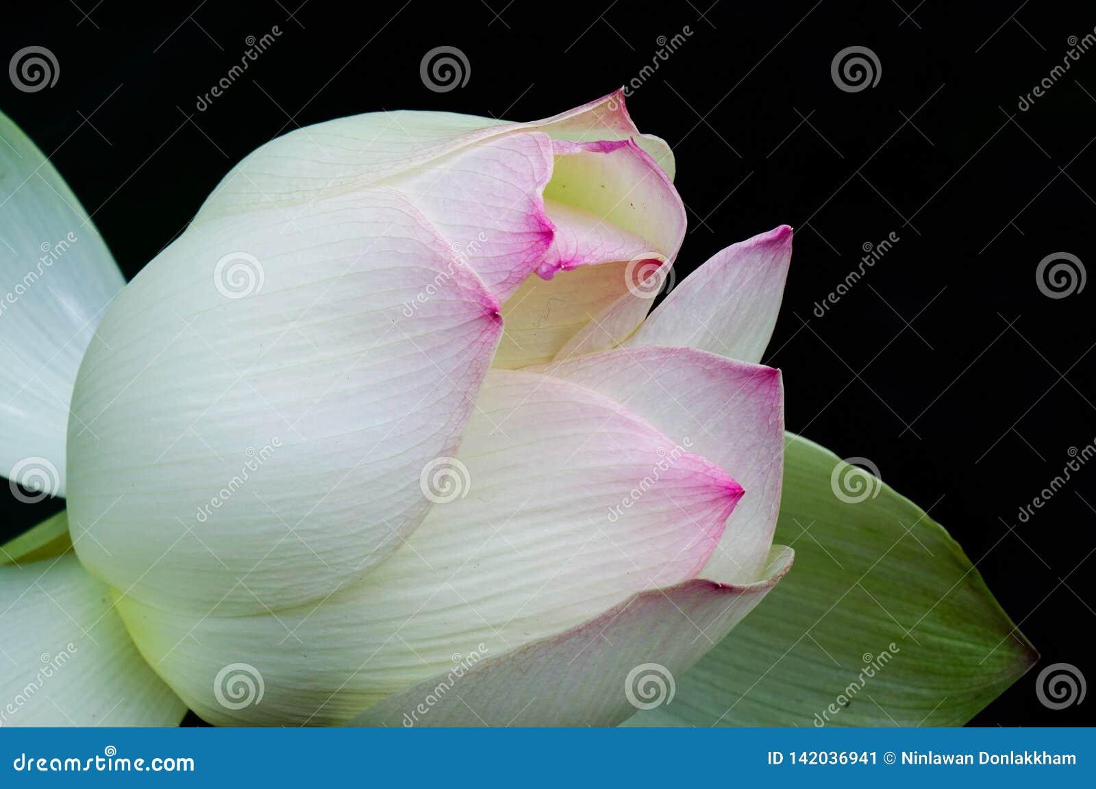 Lotosowego kwiatu kwitnienie na stawie