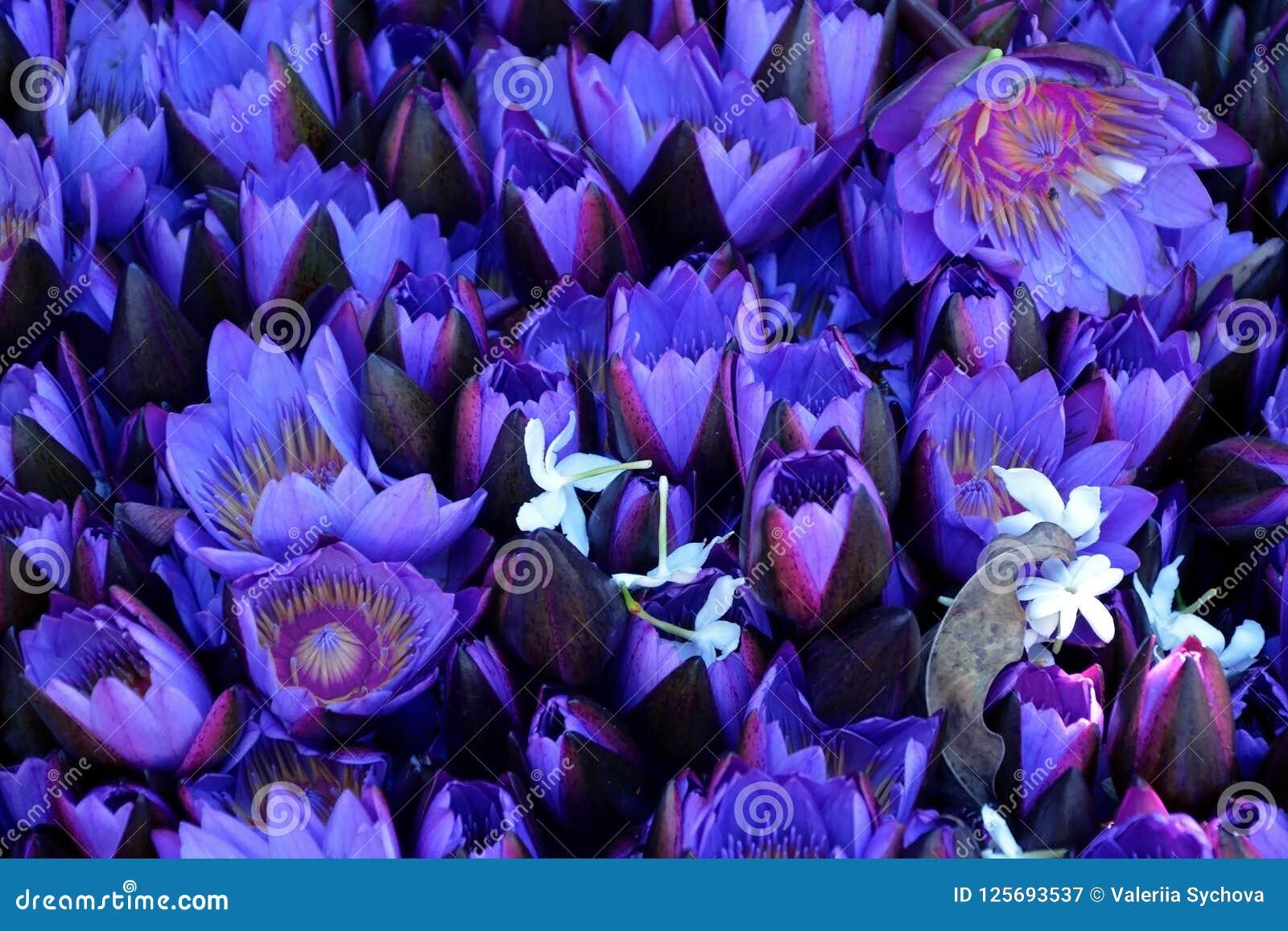 Lotosowi kwiaty otwierają i zamknięty zbliżenie kwieciste tło purpury