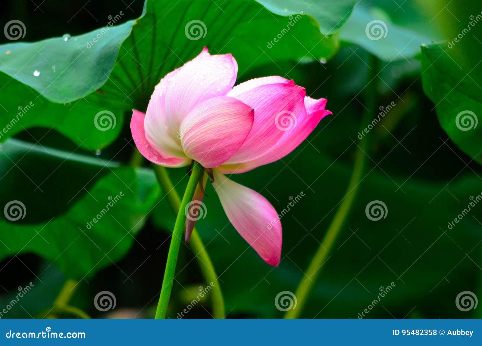 Lotosowy kwiat w deszczu